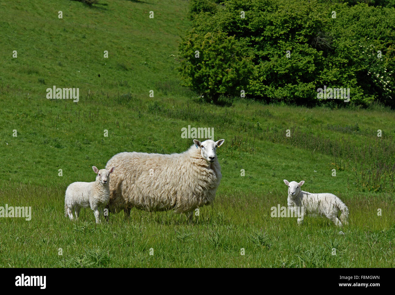 Cheviot ewe with her twin lambs in summer on a downland pasture, Berkshire, June - Stock Image