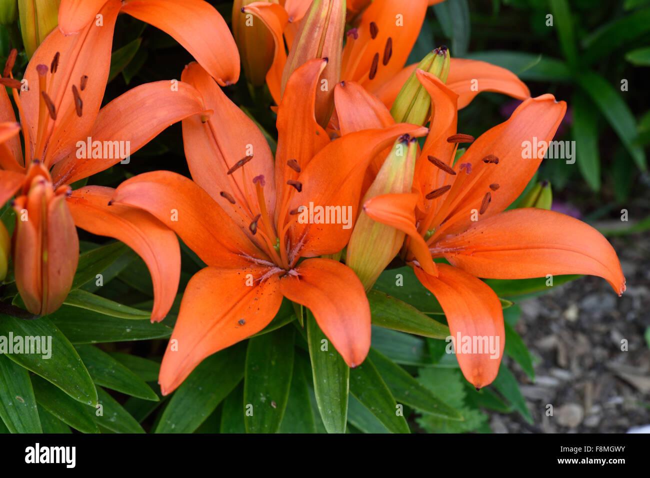 Low growing orange flowered lilies open in bright sunlight in a garden flower bed, Berkshire, June - Stock Image