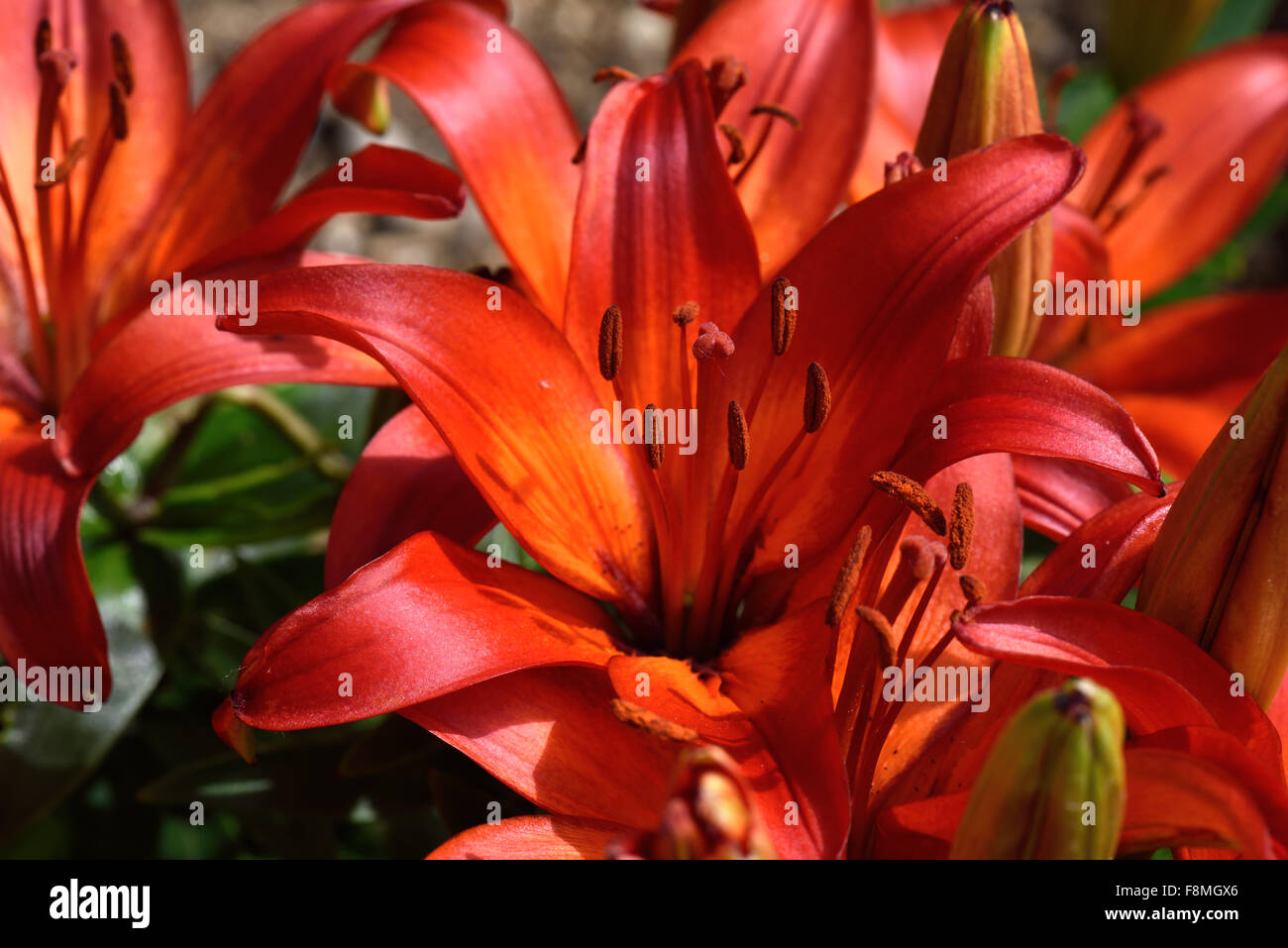 Low growing red flowered lilies open in bright sunlight in a garden flower bed, Berkshire, June - Stock Image