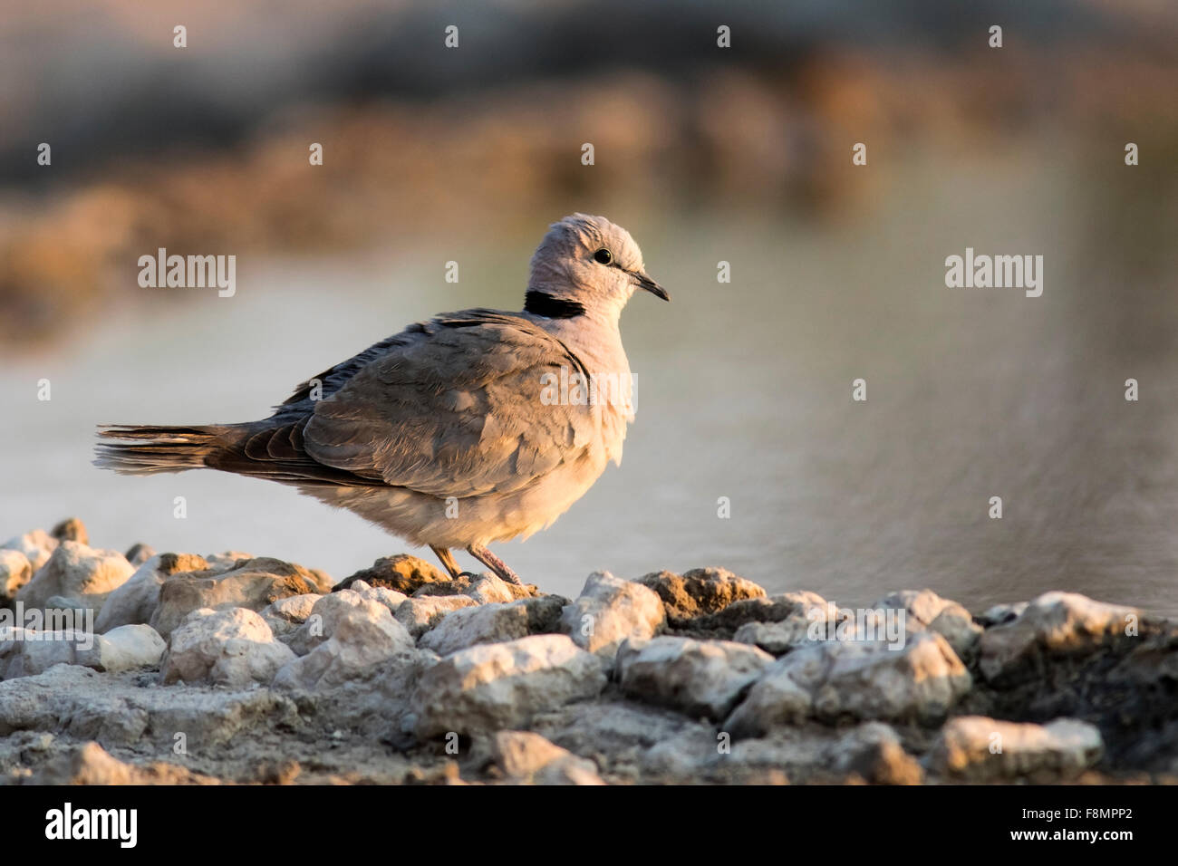Ring-necked Dove (Streptopelia capicola) or Cape Turtle Dove - Andersson's Camp - near Etosha National Park, - Stock Image