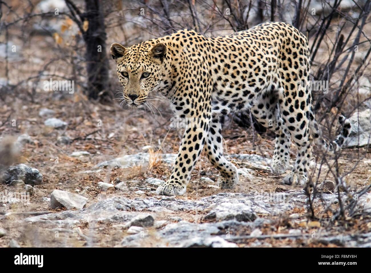 Leopard (Panthera pardus) [WILD] - Etosha National Park, Namibia, Africa - Stock Image