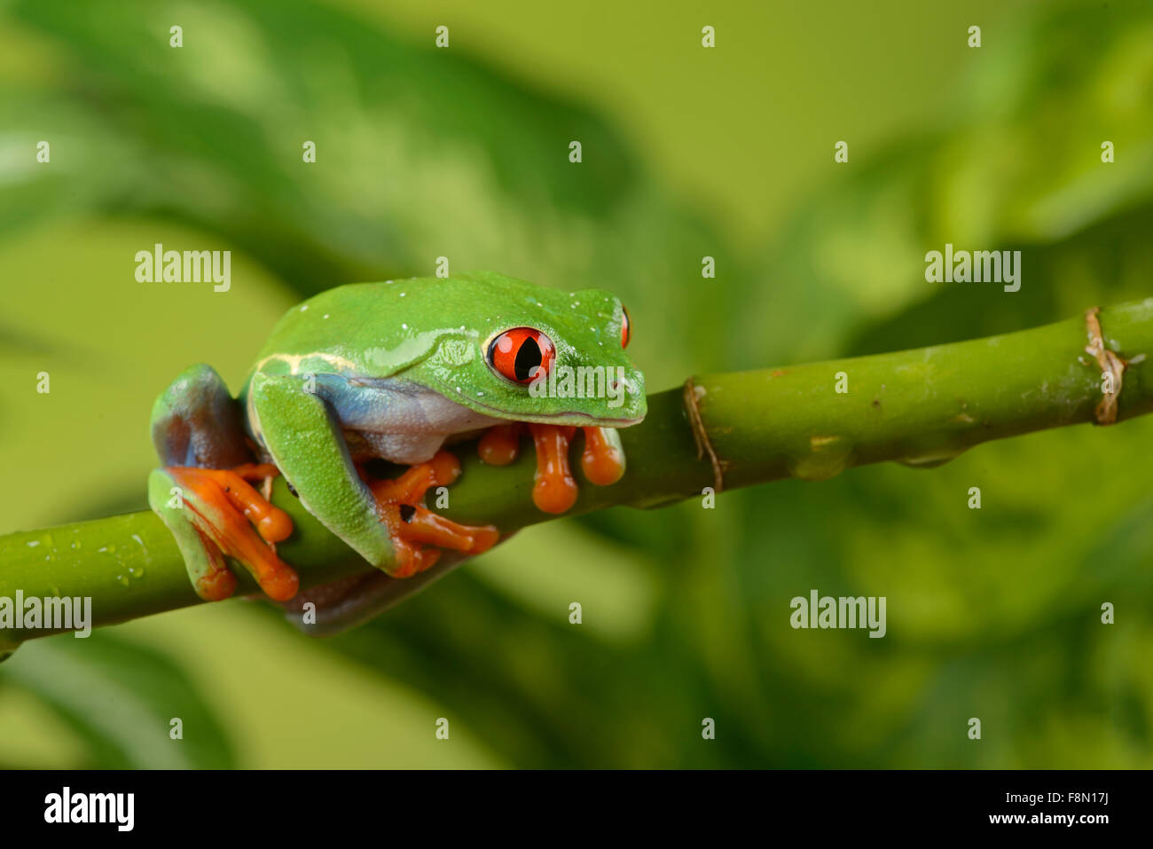 Red-Eyed Tree Frog (Agalychnis callidryas). Controlled, studio - Stock Image