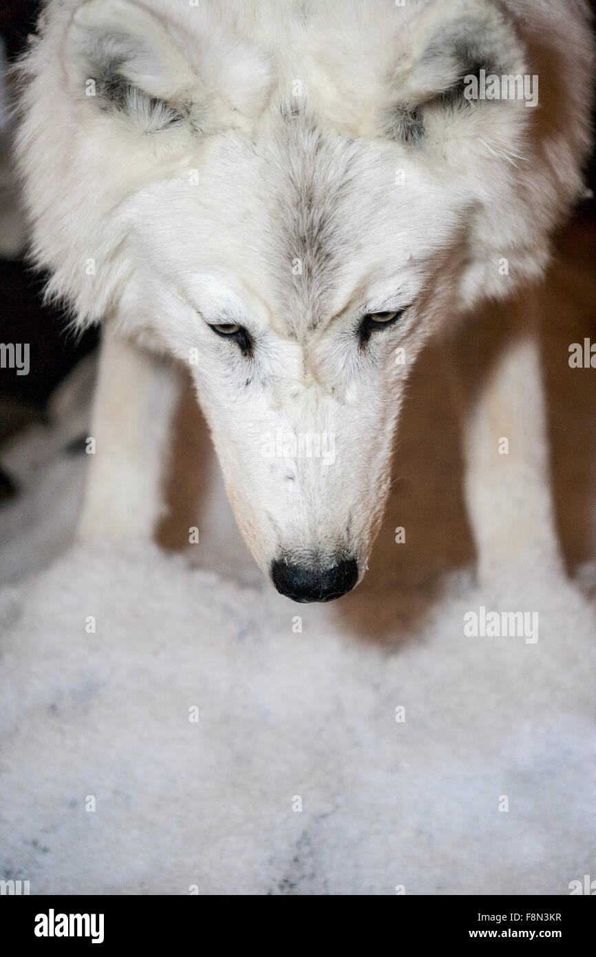 White wolf smells the snow - Stock Image