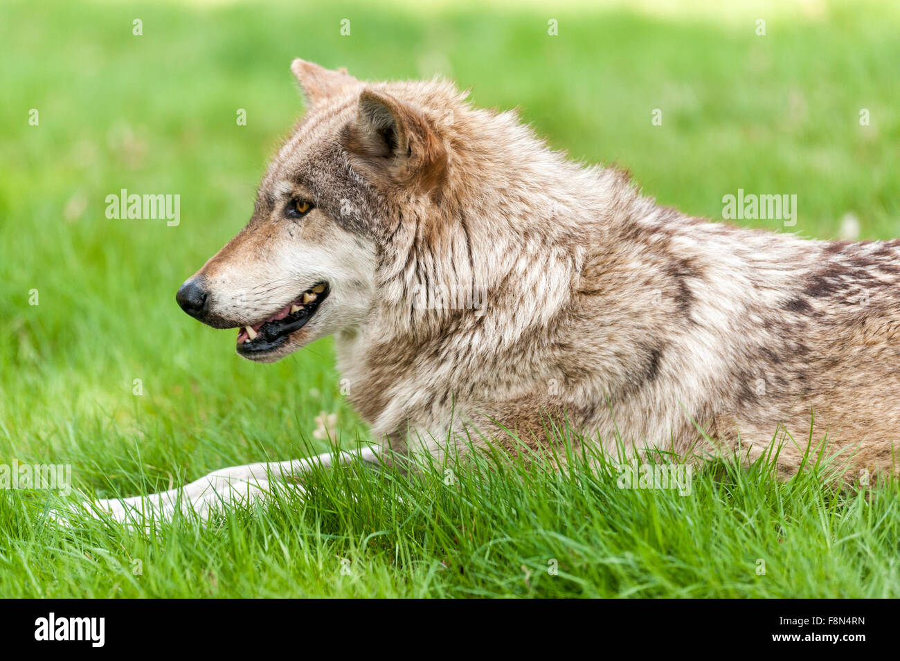 Wolf sitting down side view - photo#55