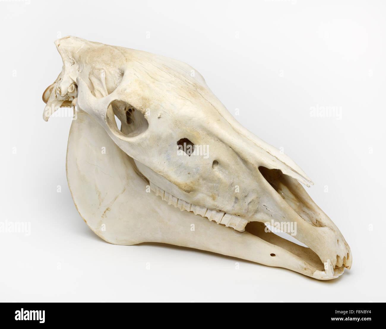 Horse skull cutout cut out cut-out, Equus ferus caballus - Stock Image