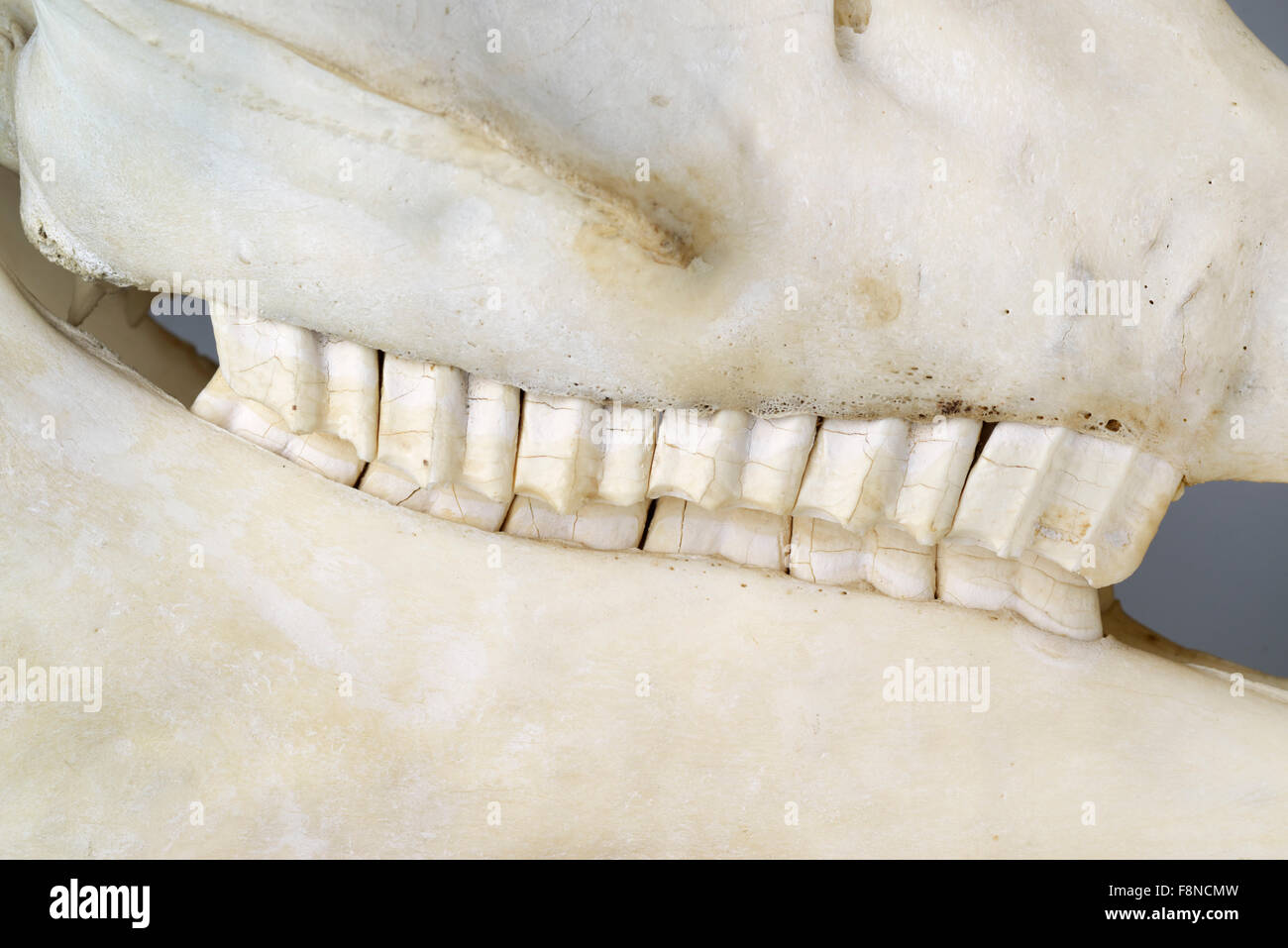 Side view of horse jaw showing molars for grinding grasses, Equus ferus caballus - Stock Image