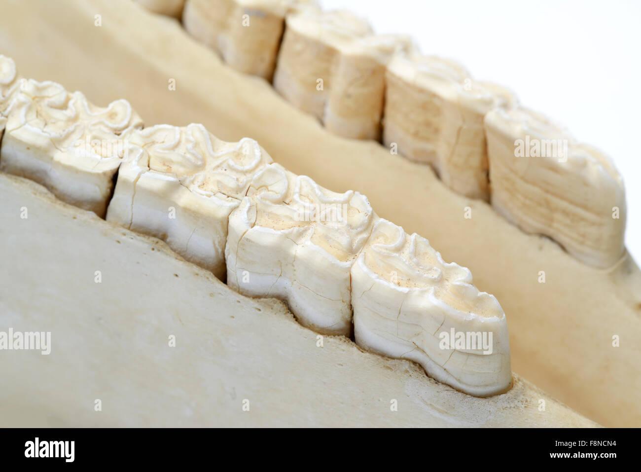 Row of molar teeth in lower jaw of a horse, Equus ferus caballus - Stock Image