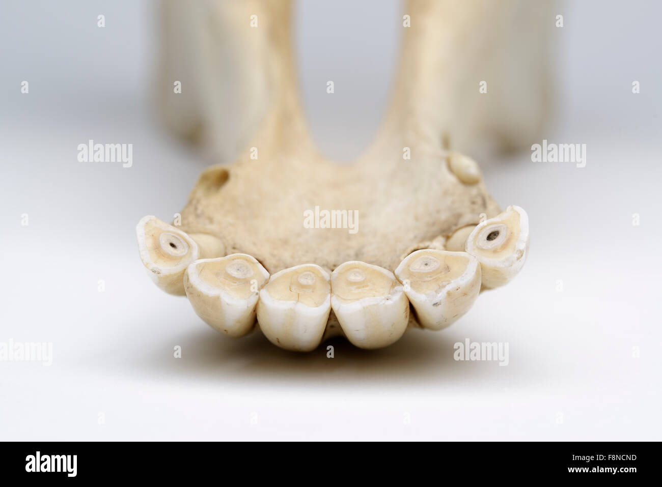 Incisors Stock Photos & Incisors Stock Images - Alamy