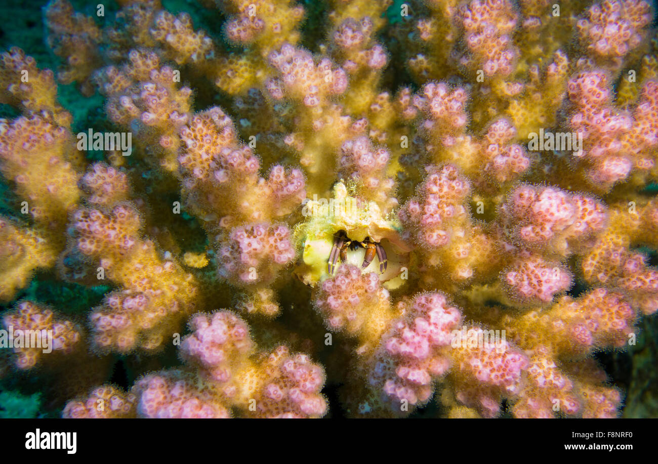 Small hermit crab, Calcinus spec., in a raspberry coral, Pocillopora, from the Red Sea, Egypt. - Stock Image