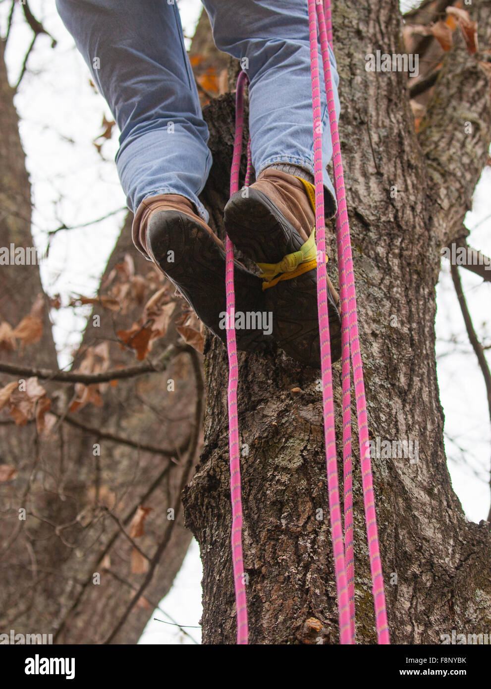 Man using a dynamic rope to climb a tree - Stock Image