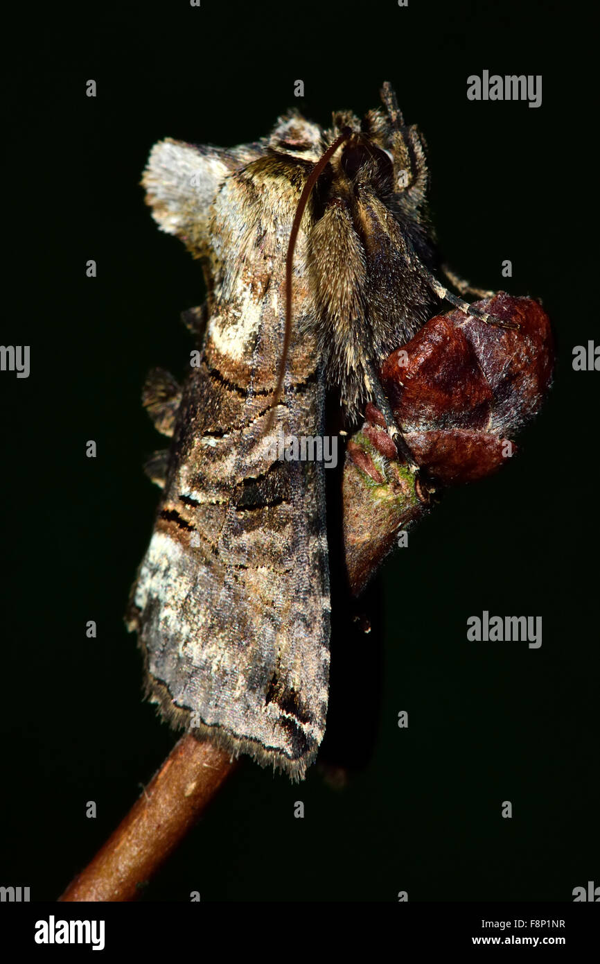 The spectacle moth (Abrostola triplasia).  A moth in the Noctuidae family at rest on a twig - Stock Image