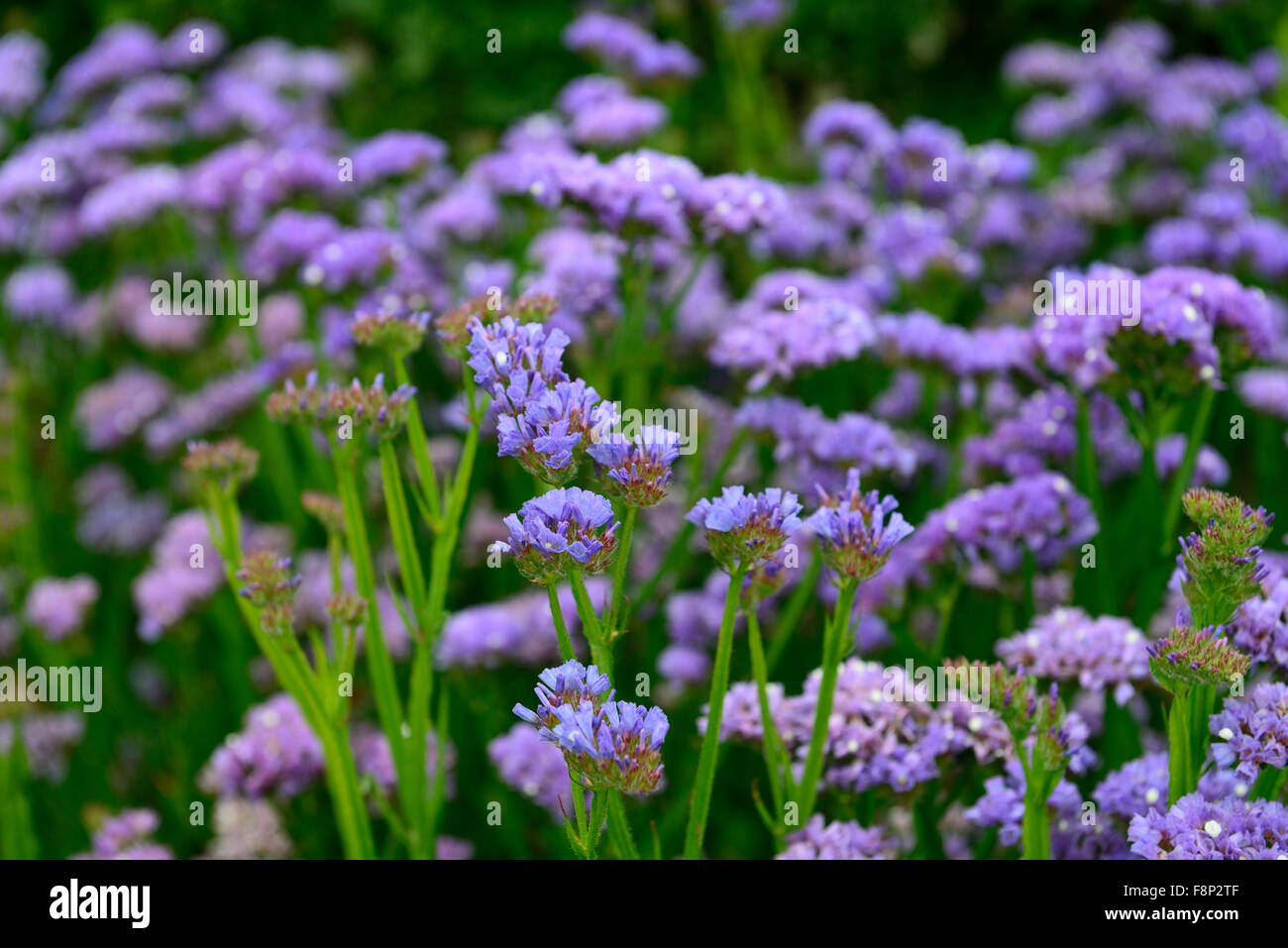 Limonium sinuatum sky blue statice annual annuals flowers flowering limonium sinuatum sky blue statice annual annuals flowers flowering flower bed display mass massed profusion profuse rm floral izmirmasajfo