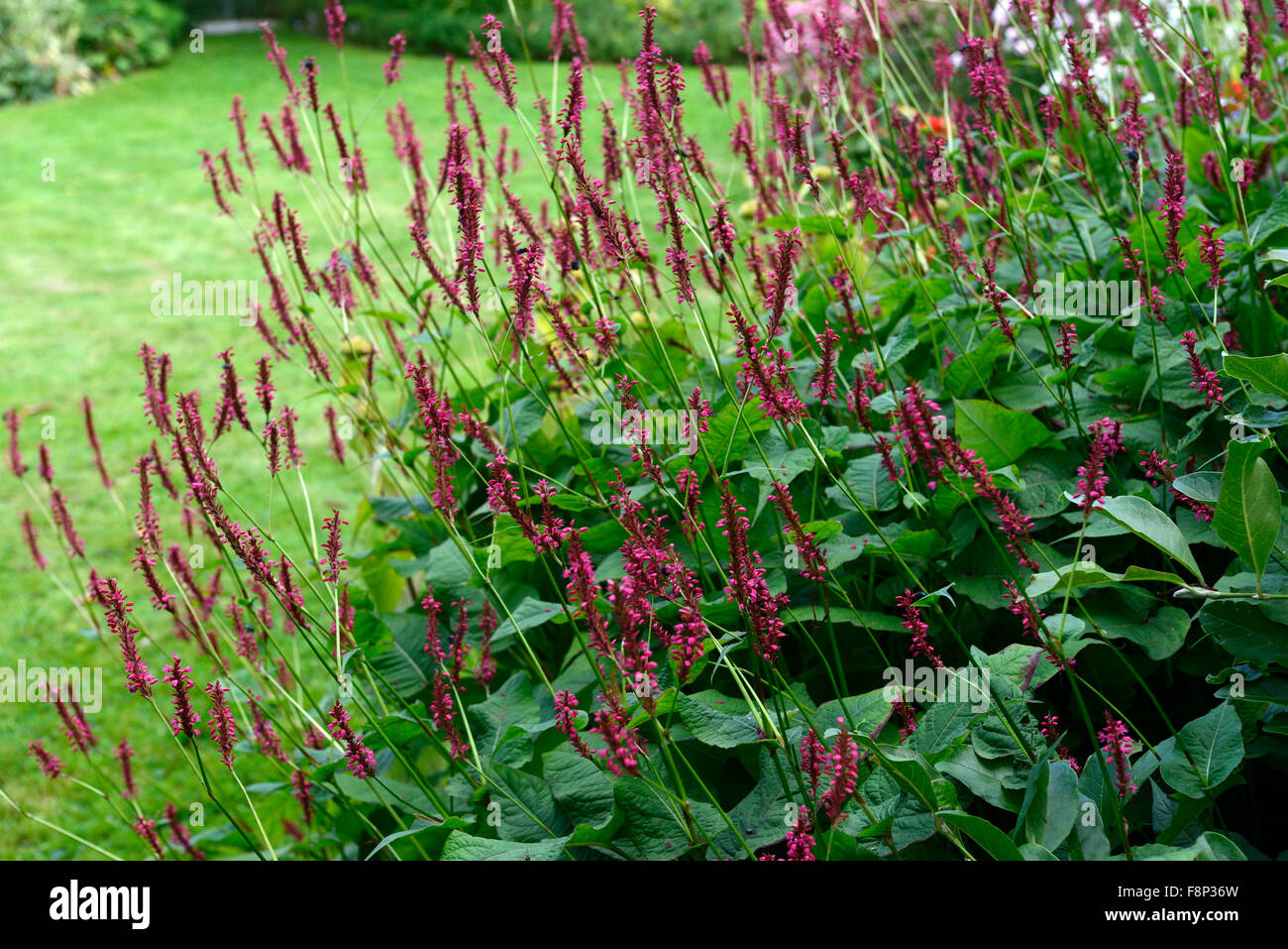 Persicaria Amplexicaulis Fat Domino Red Flower Late Flowering