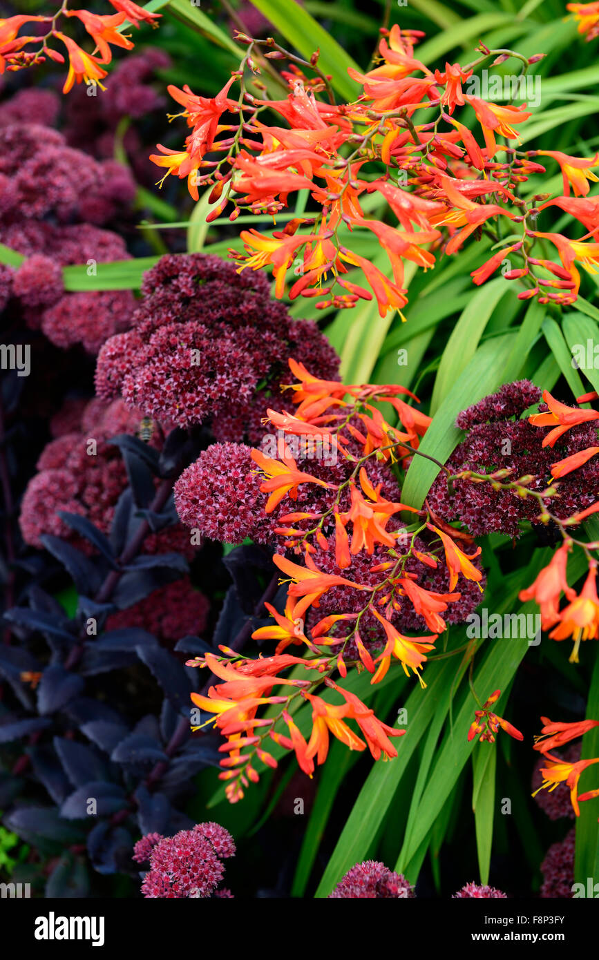 sedum jose aubergine crocosmia zanzibar orange purple flower flowers flowering combination garden planting perennial - Stock Image