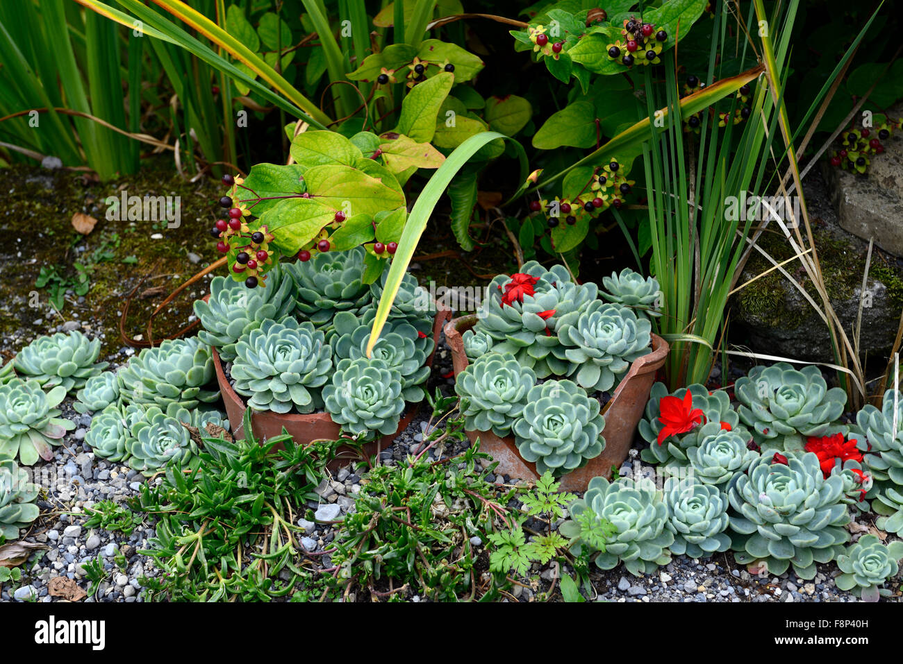 succulents hens and chicks broken pot garden gardening design recycle upcycle reuse perennial RM Floral - Stock Image