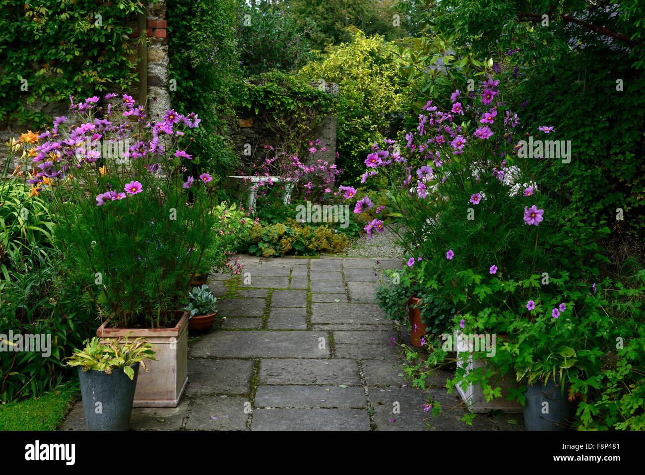 Purple Cosmos Bipinnatus Flowers Flower Annual Annuals Garden Design