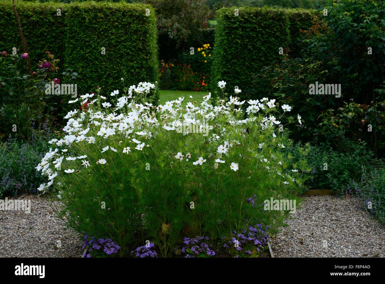 White Cosmos Bipinnatus Flowers Flower Annual Annuals Garden Design