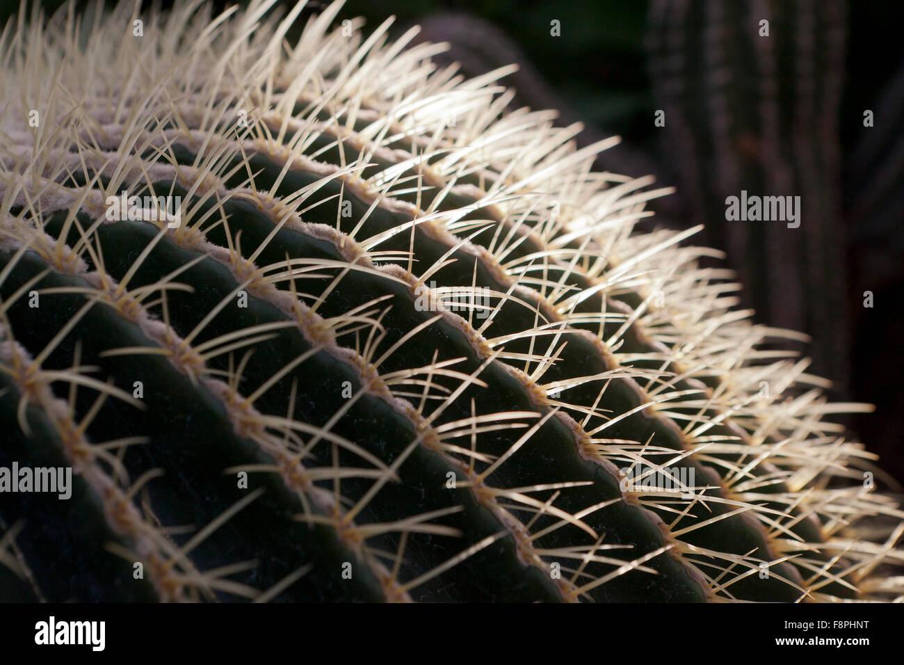 Barrel cactus (Echinocactus grusonii) spines - Stock Image