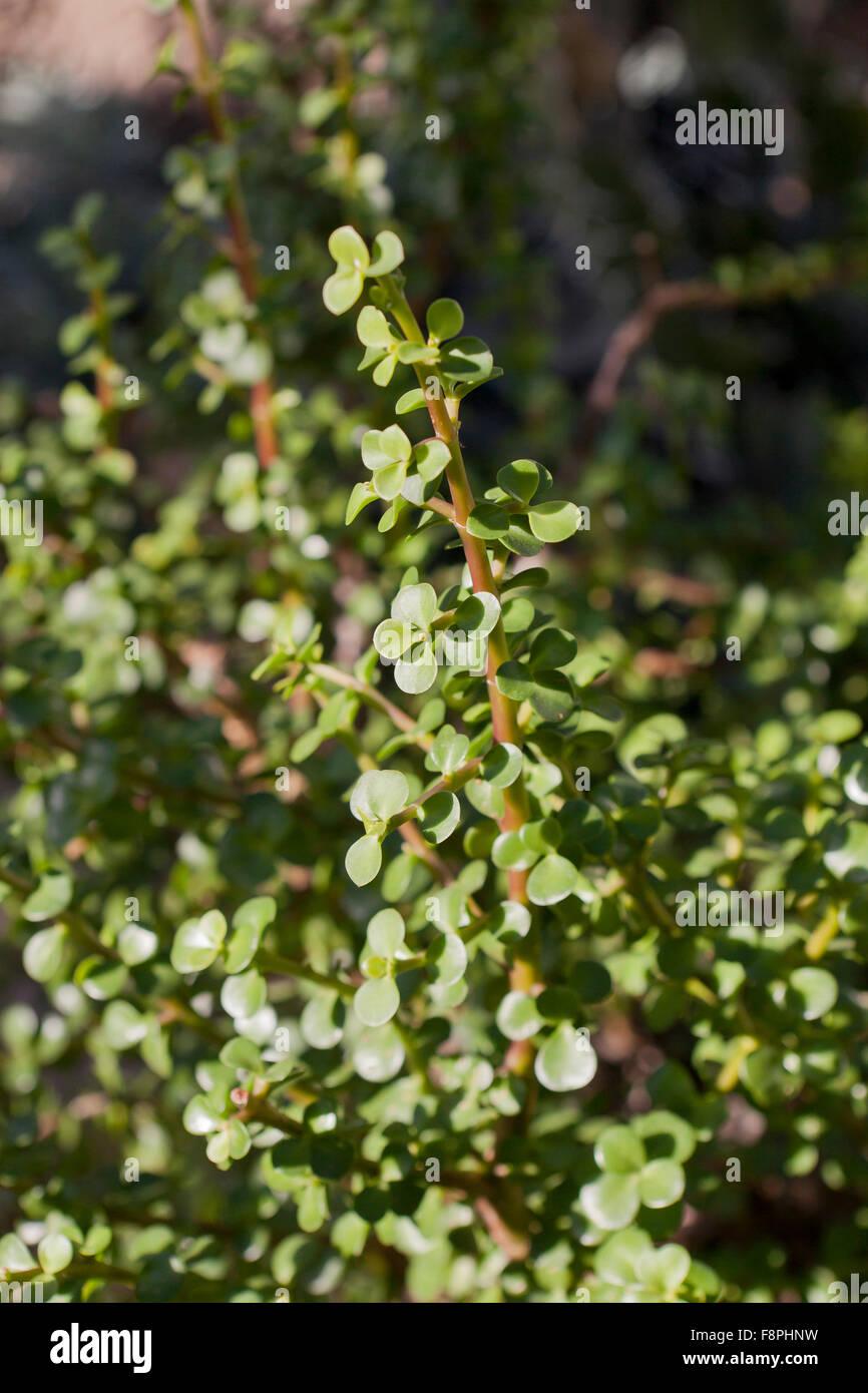 Elephant bush (Portulacaria afra) AKA Dwarf Jade plant, Porkbush, Spekboom - Stock Image
