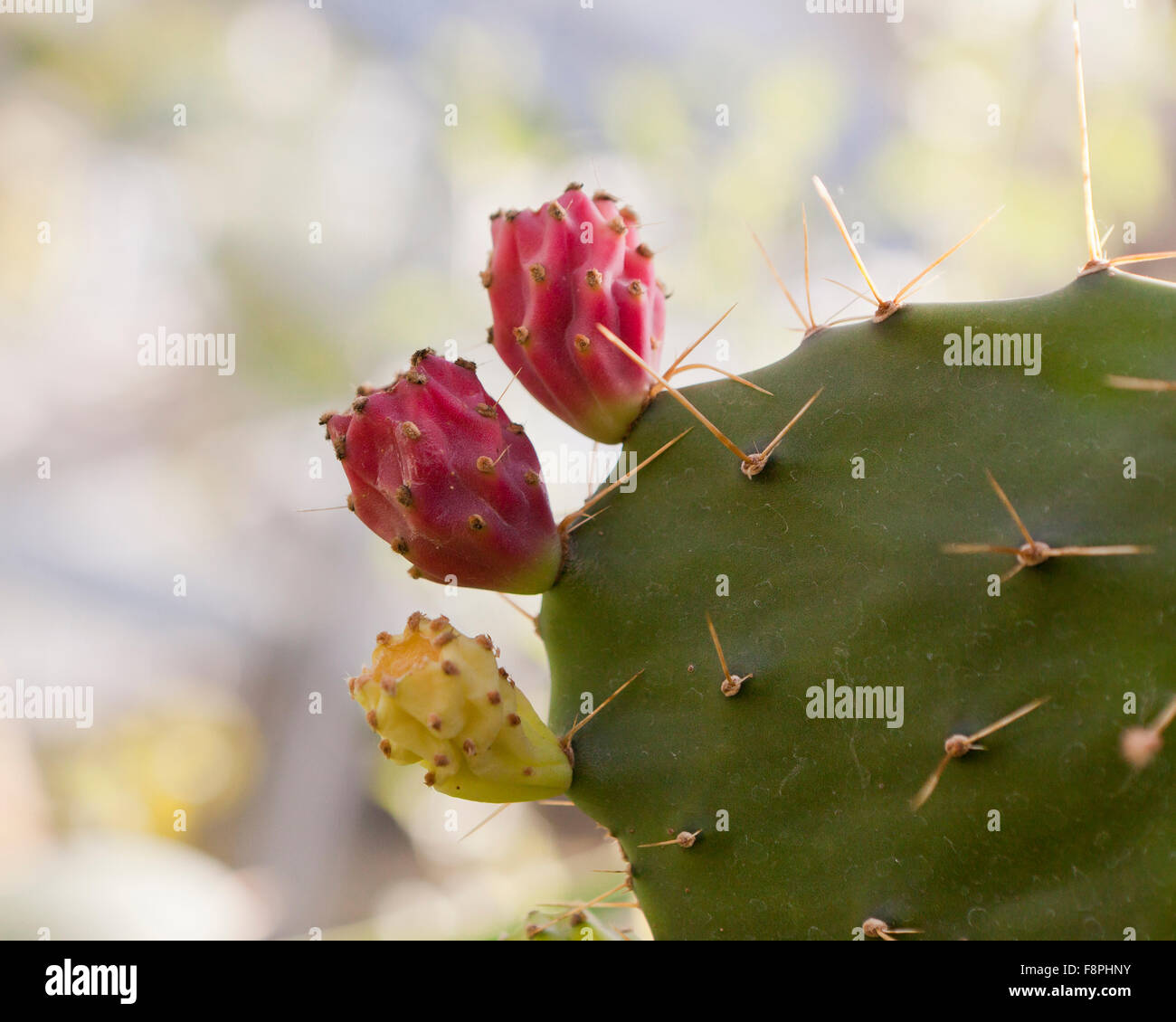 Texas Prickly Pear Cactus Opuntia Engelmannii Fruits Native To