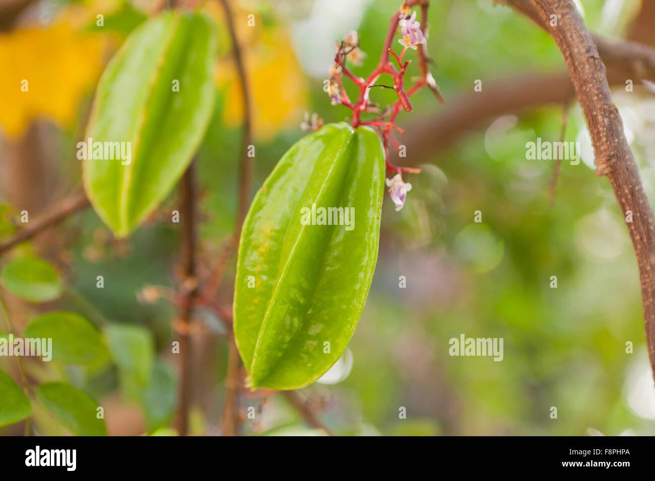 Carambola, AKA starfruit (Averrhoa carambola) on tree Stock Photo