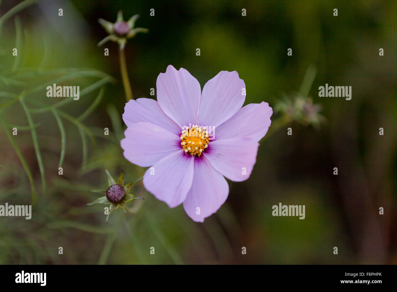 Cosmos flower - Stock Image