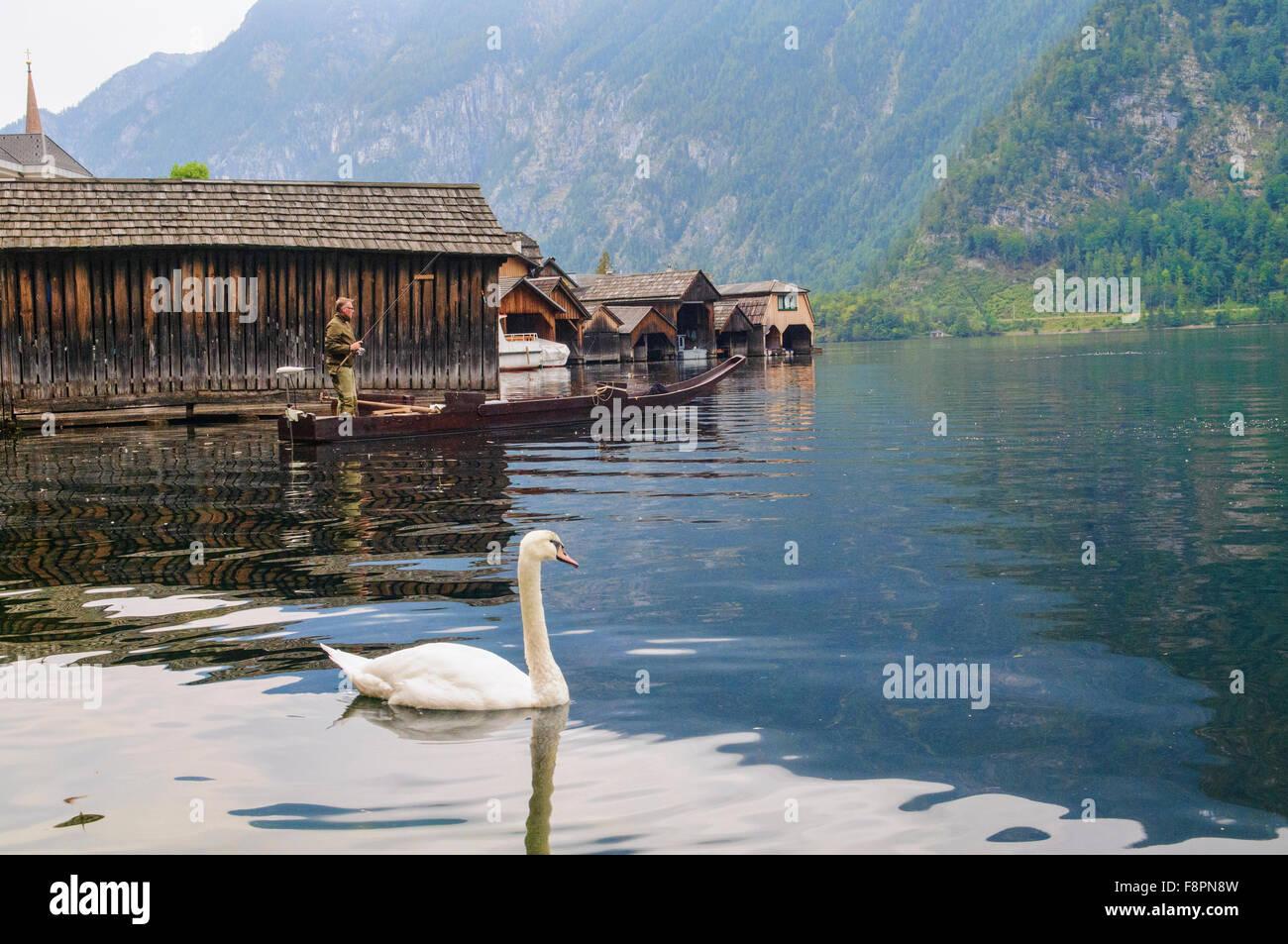 Beautiful white duck at Hallstatt Lake, Hallstatt, Salzkammergut, Austria - Stock Image
