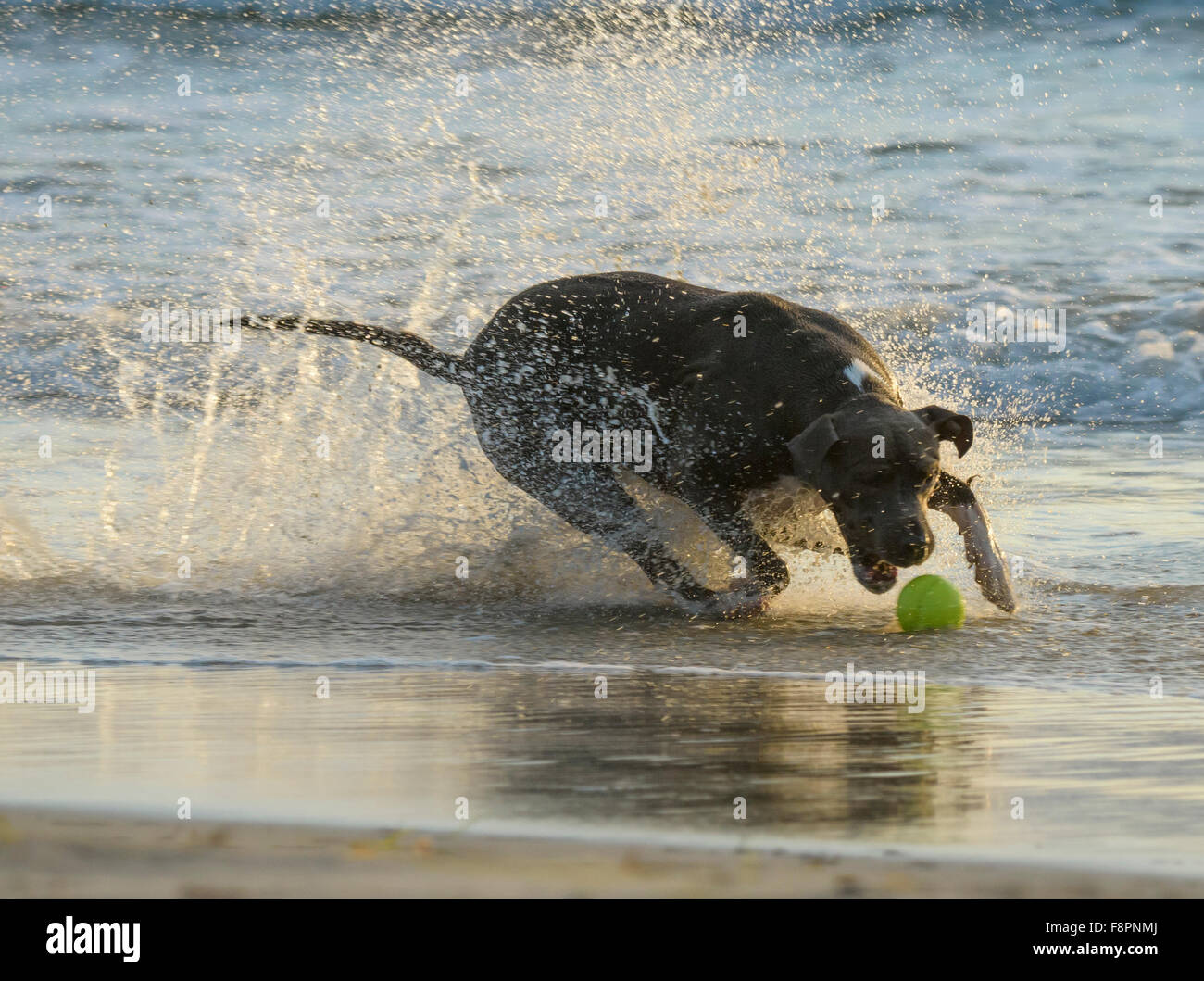 Dogs play, run and splash on Ocean Beach, CA shoreline - Stock Image