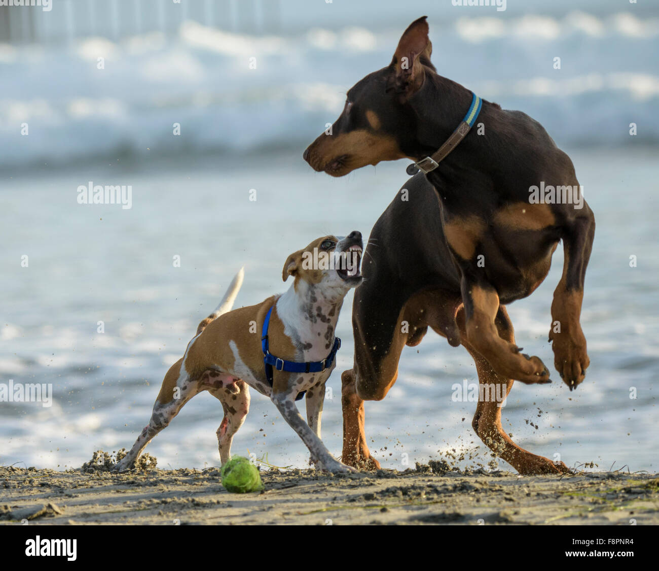 Terrier and Doberman dogs play, run and splash on Ocean Beach, CA shoreline - Stock Image