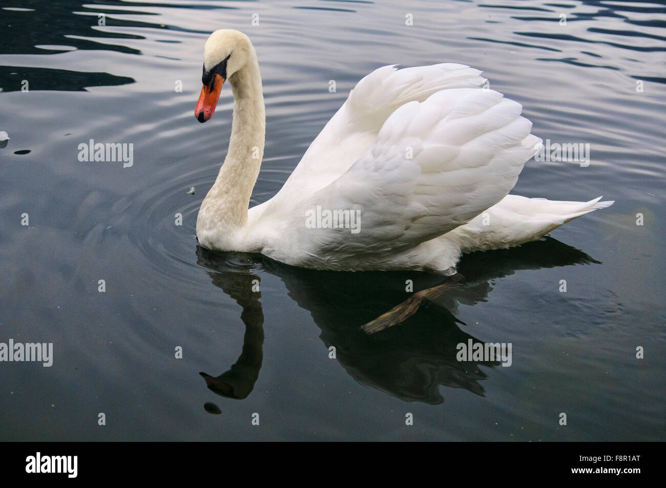 Beautiful white duck at Hallstatt Lake - Stock Image