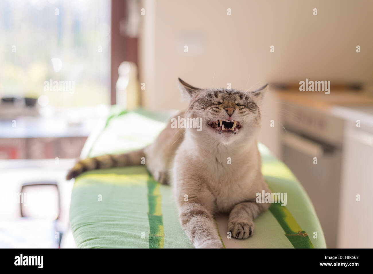 Snarling domestic cat with half-open mouth. Shot indoor in backlight with natural light. Very shallow depth of field, - Stock Image