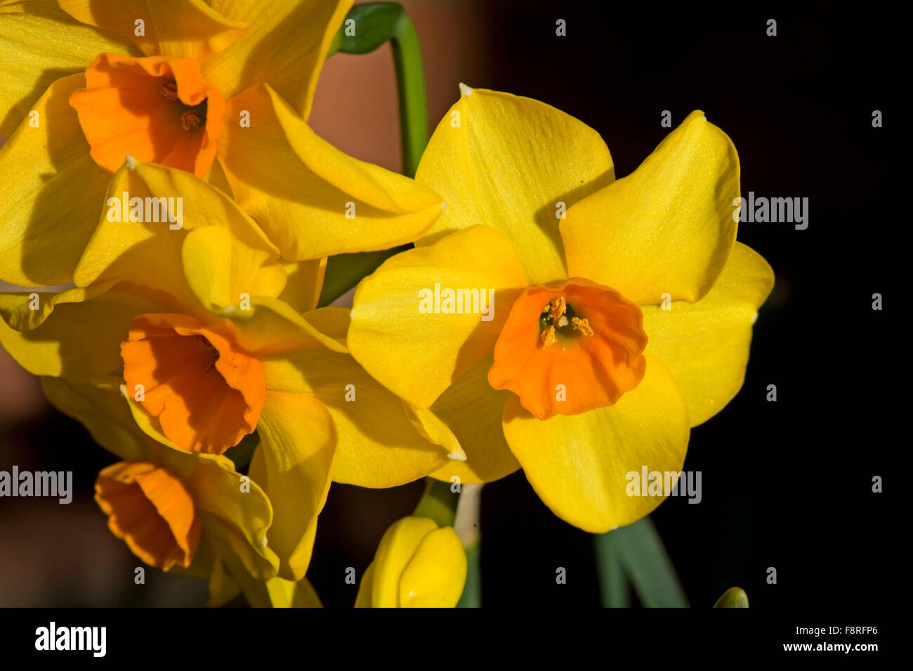 """Flowers of Narcissus """"Martinette"""" yellow with an orange central cup Stock Photo"""