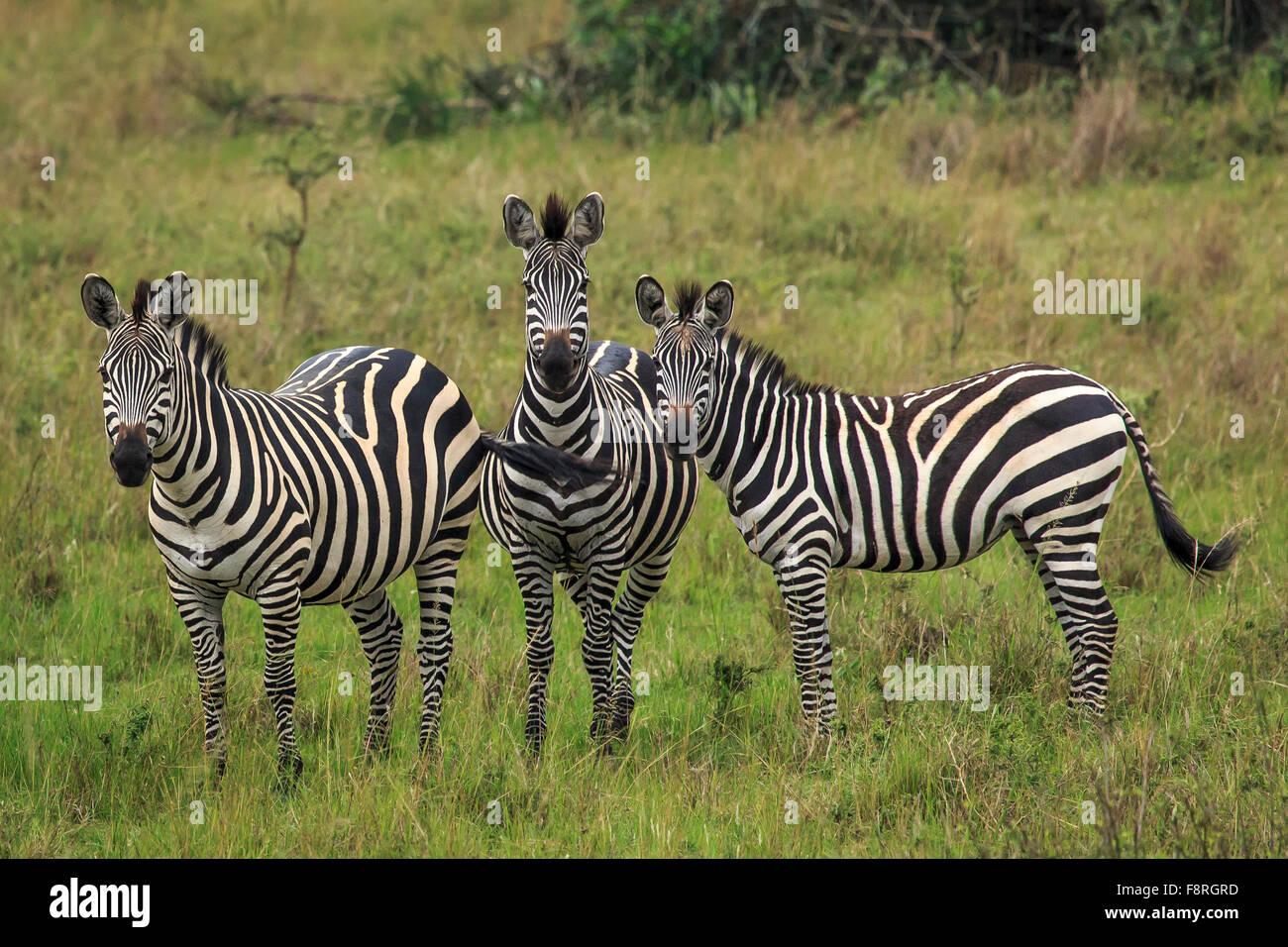Three zebras on the grasslands of Rwanda - Stock Image