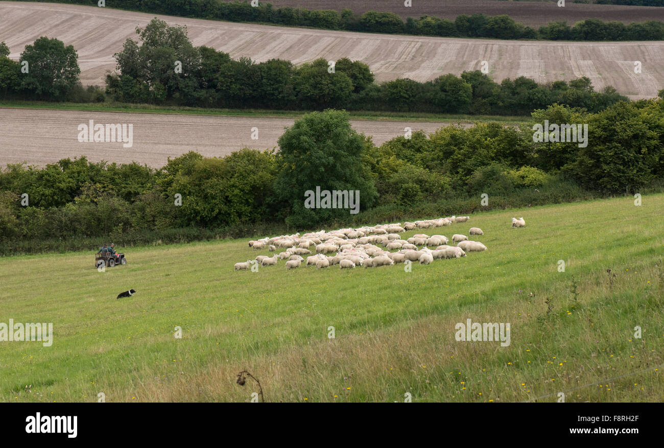 Shepherds on a quad bike with their collie dog rounding up and moving sheep, Berkshire, September - Stock Image