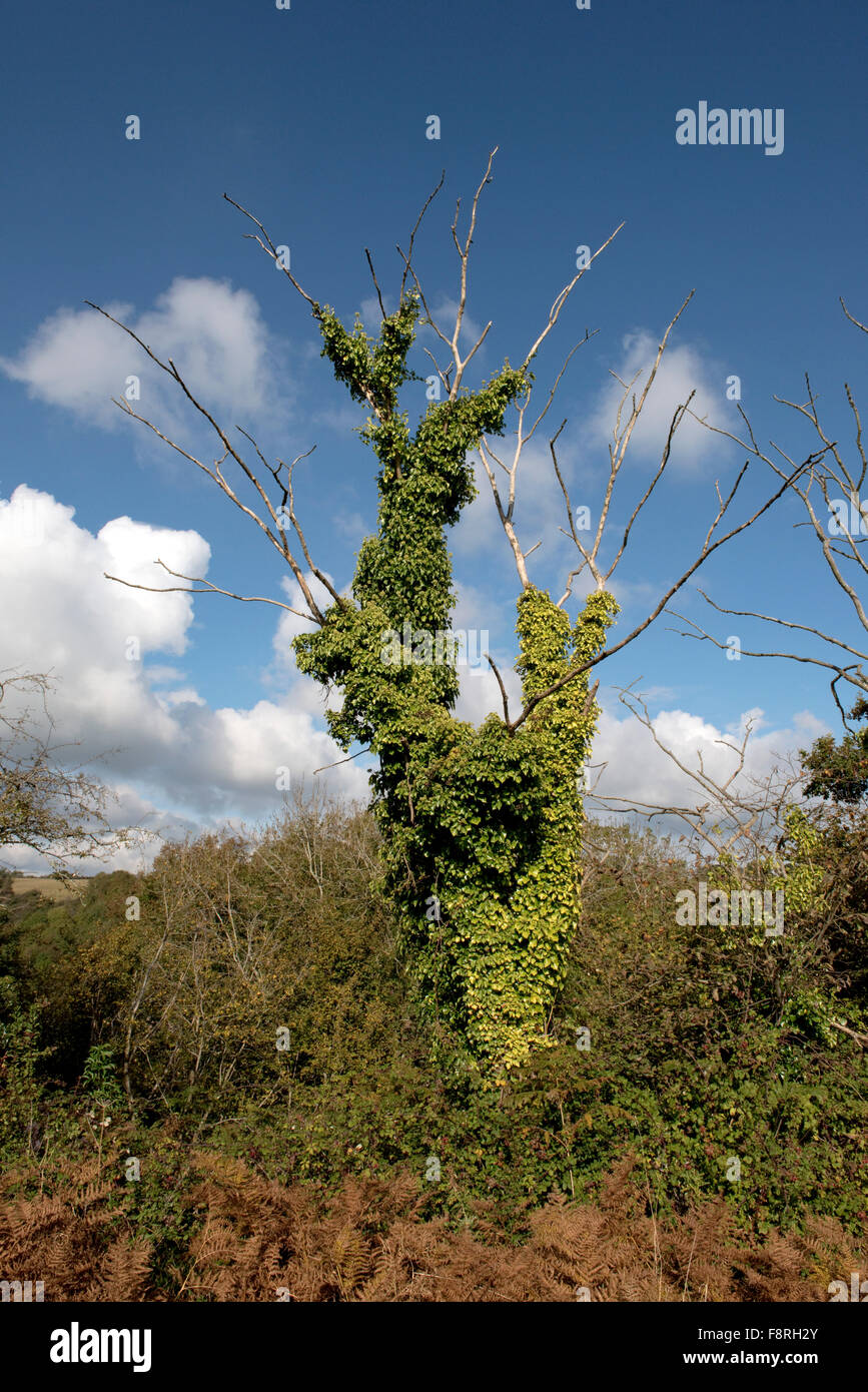 Long dead tree clad in ivy, Hedera helix, and forning a habitat for birds and invertebrates, Devon, October Stock Photo