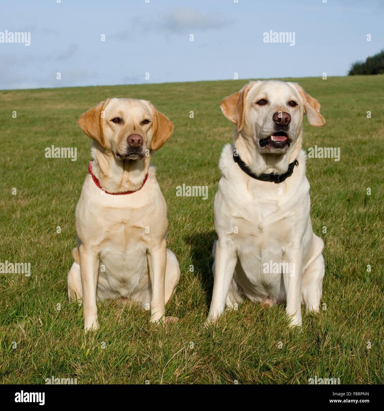 two yellow labrador retrievers - Stock Image