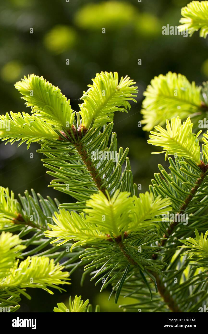 Nordmann Fir, Caucasian Fir, Christmas Tree, Nordmann-Tanne, Nordmanntanne, Nordmanns Tanne, Abies nordmanniana - Stock Image