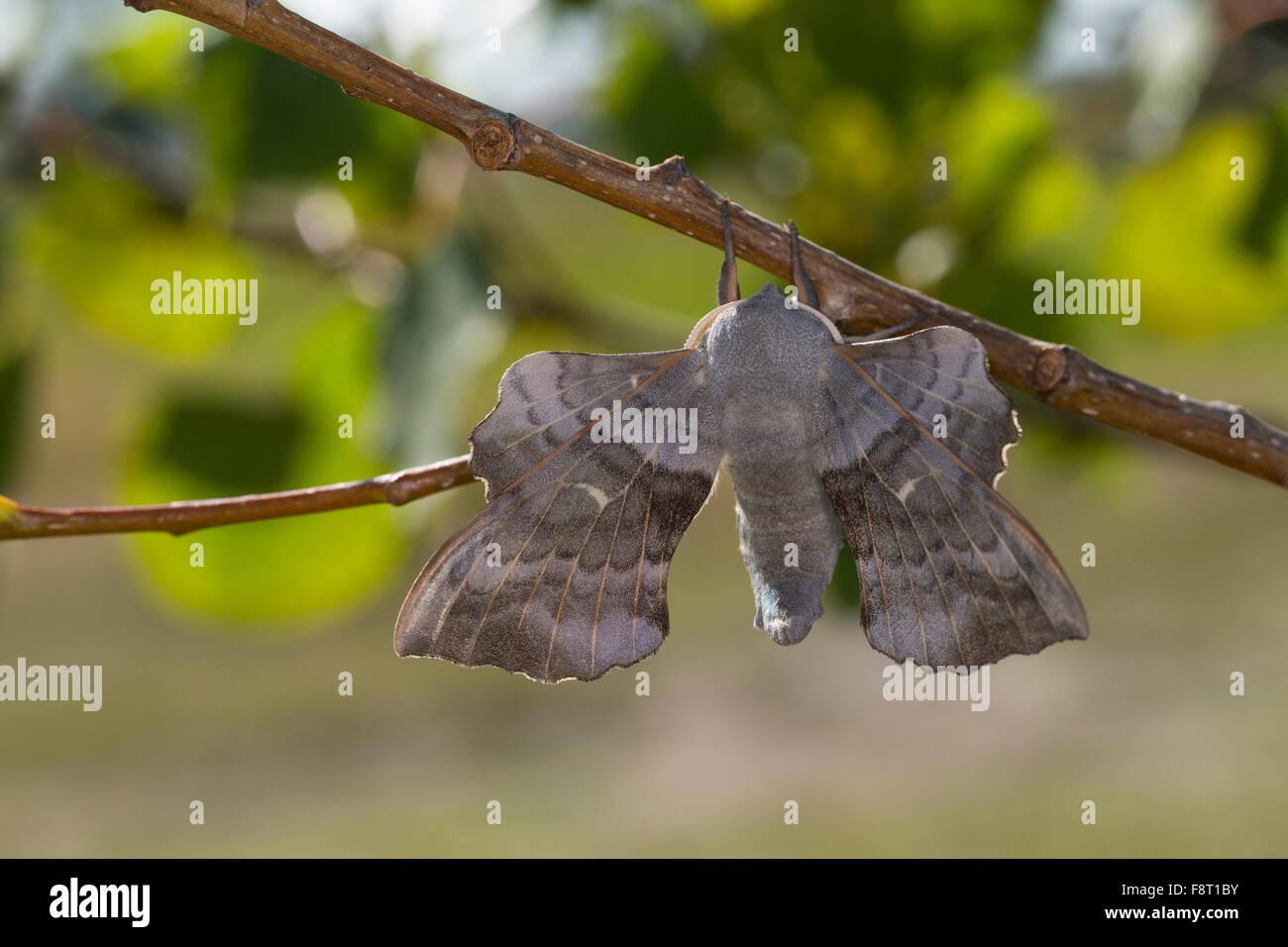 Poplar Hawk-moth, Poplar Hawkmoth, male, Pappelschwärmer, Männchen, Pappel-Schwärmer, Laothoe populi, - Stock Image