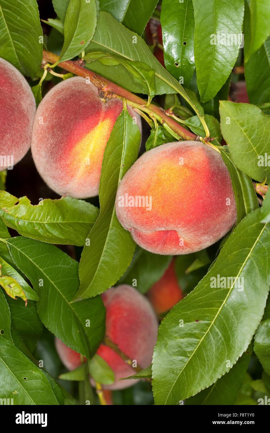 Peach, fruit, Pfirsich, Pfirsiche, Pfirsichbaum, Frucht, Obst, Obstbaum, Prunus persica var. persica, Pêcher - Stock Image