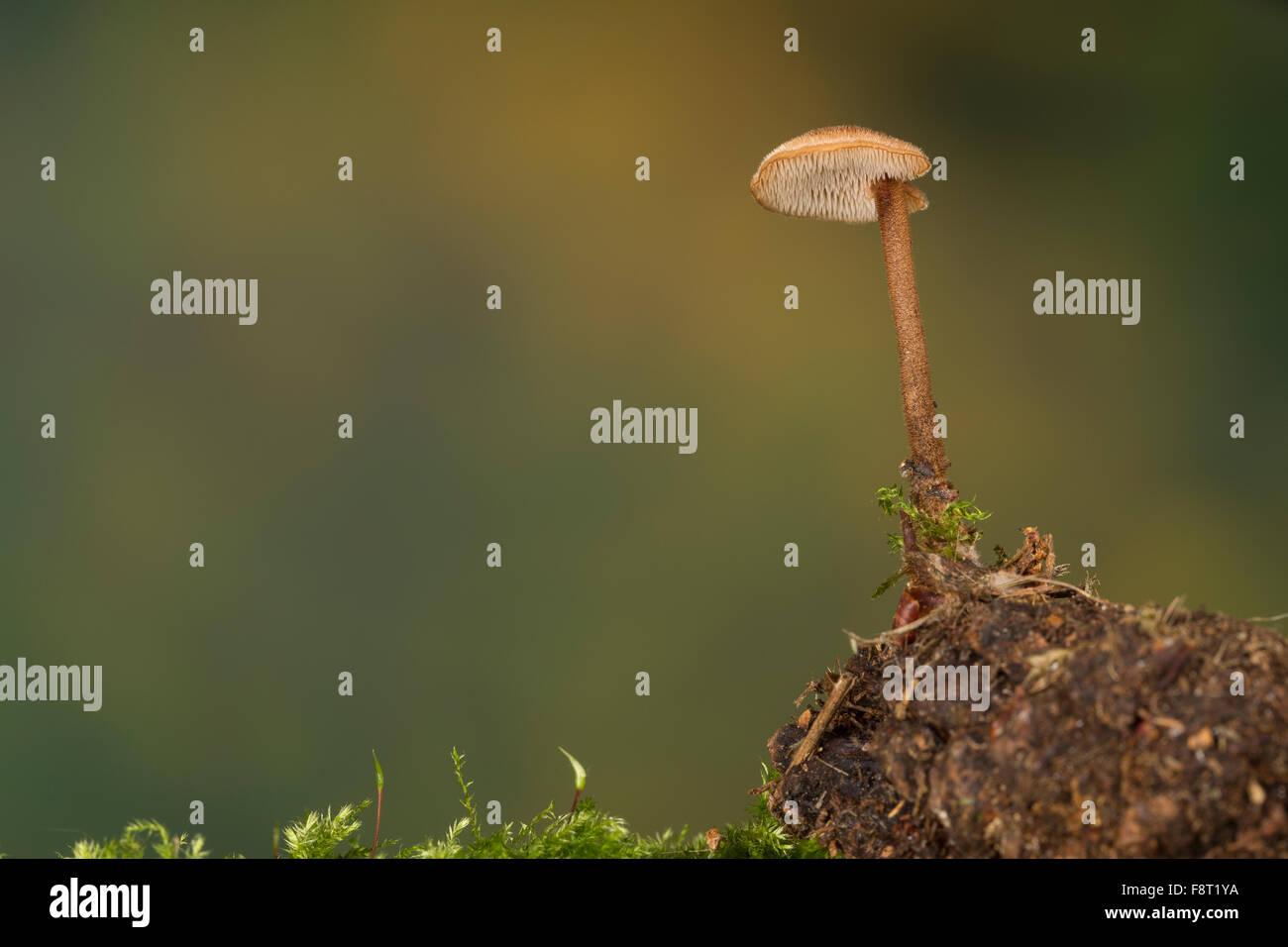 Earpick Fungus, pinecone mushroom, cone tooth, Ohrlöffel-Stacheling, Ohrförmiger Stacheling, Ohrlöffelpilz, - Stock Image