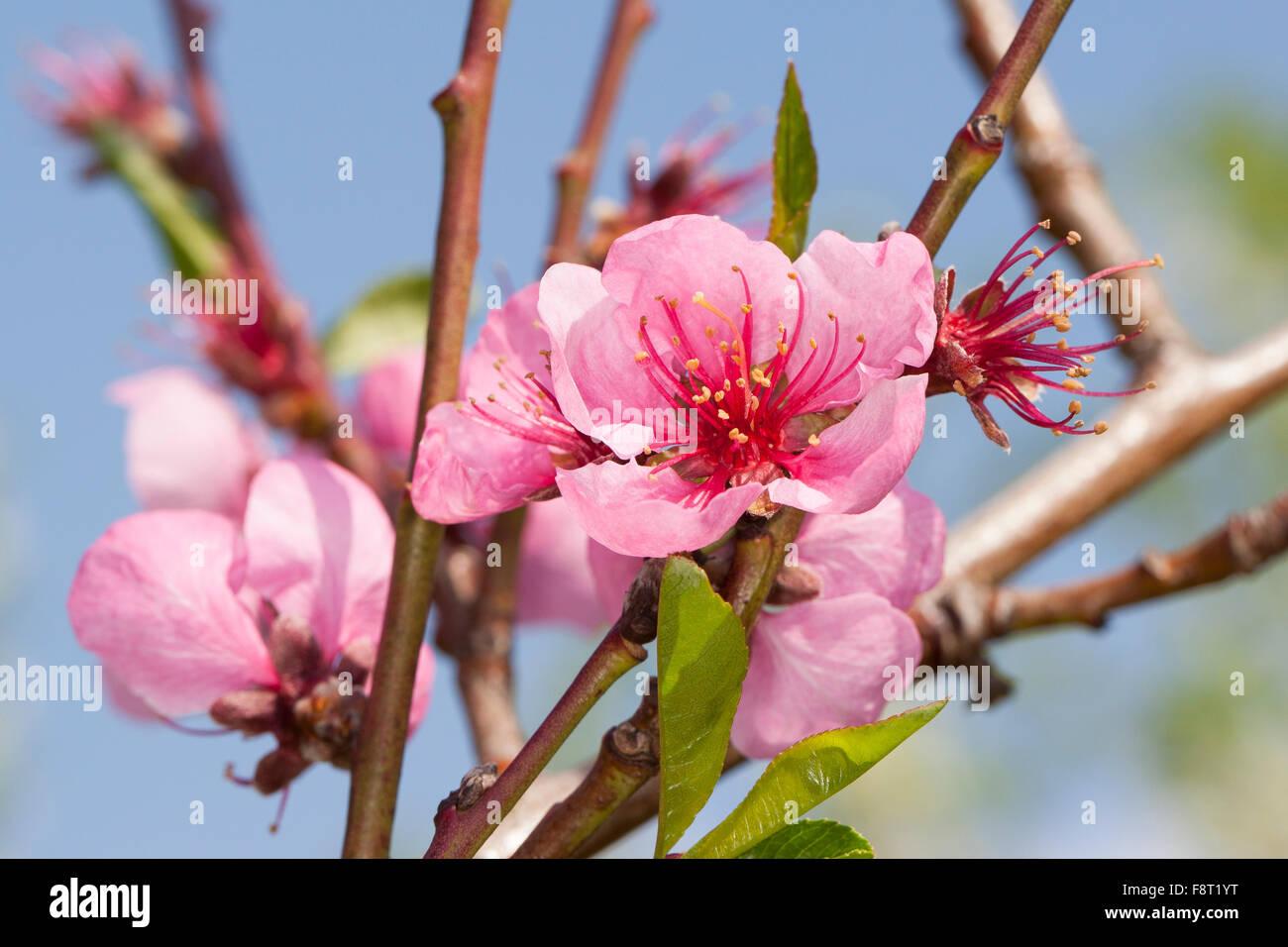 Peach, Pfirsich, Pfirsiche, Pfirsichbaum, Blüte, Obstbaumblüte, Obstbaum, Prunus persica var. persica, - Stock Image