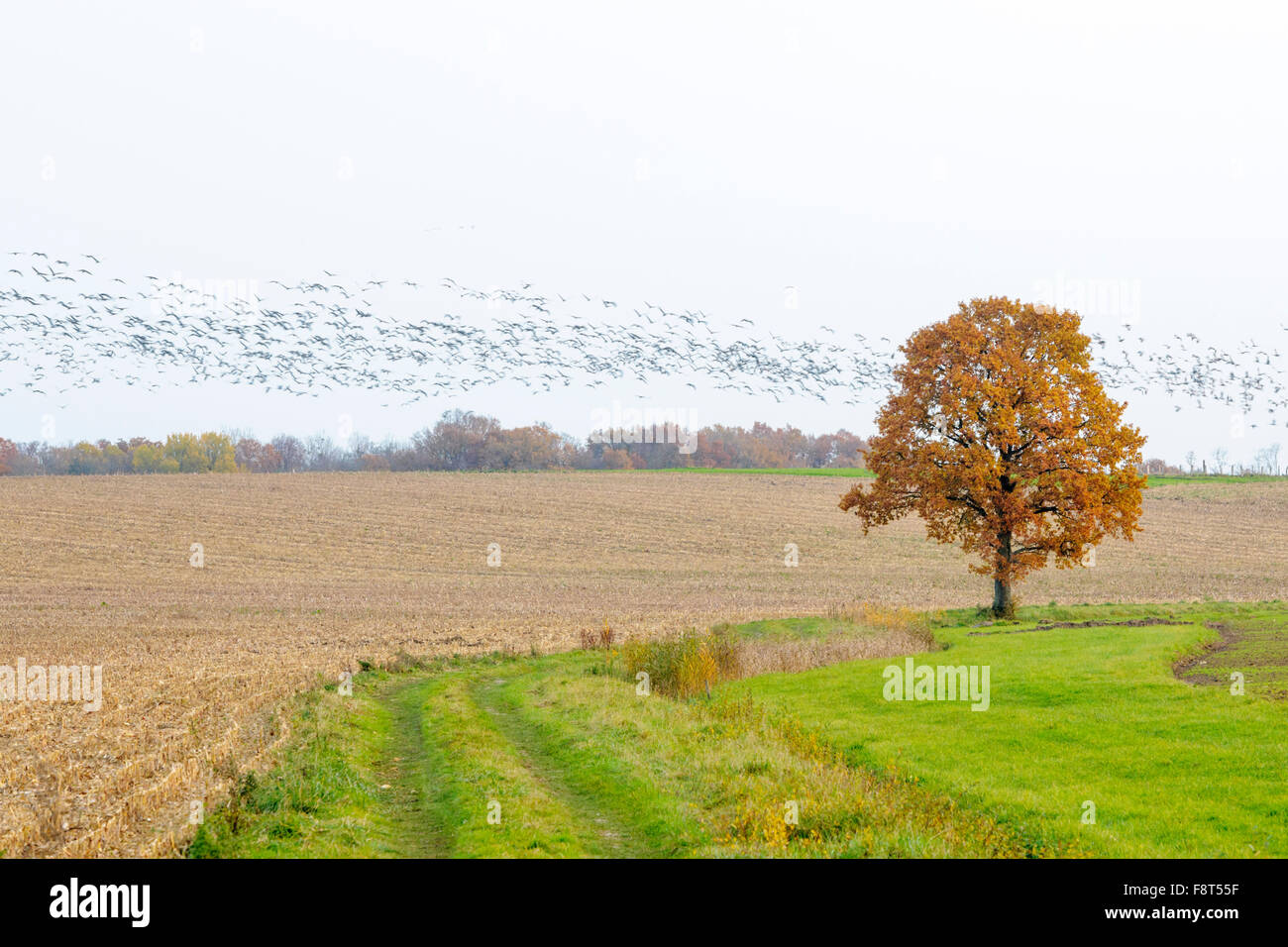 Common Crane (Grus grus) flock in flight with motion blur and autumn tree an field, Lac du Der, Haute Marne, France. - Stock Image