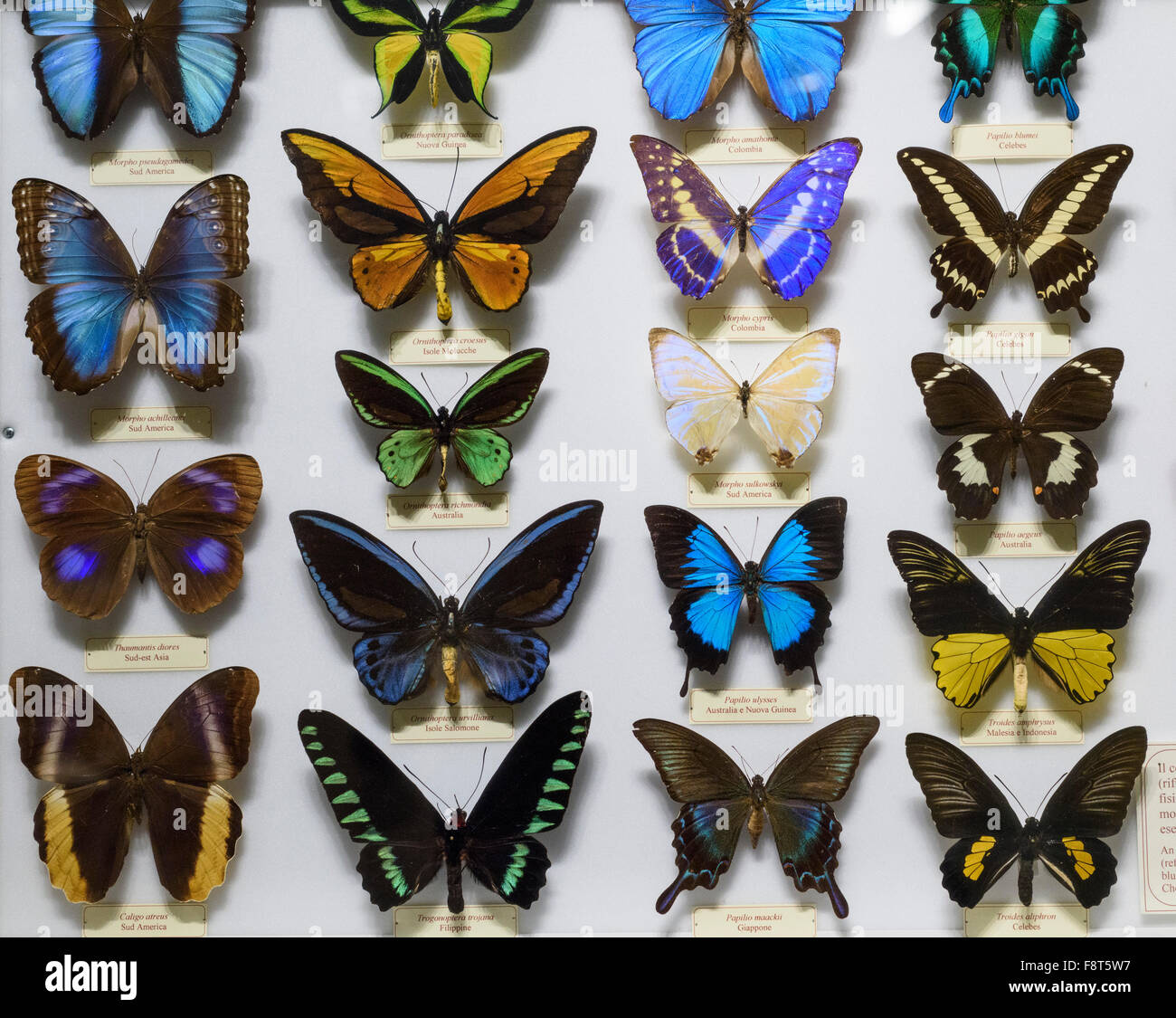 Florence. Italy. Colouful display of Butterflies at La Specola, Museum of Zoology and Natural History. - Stock Image