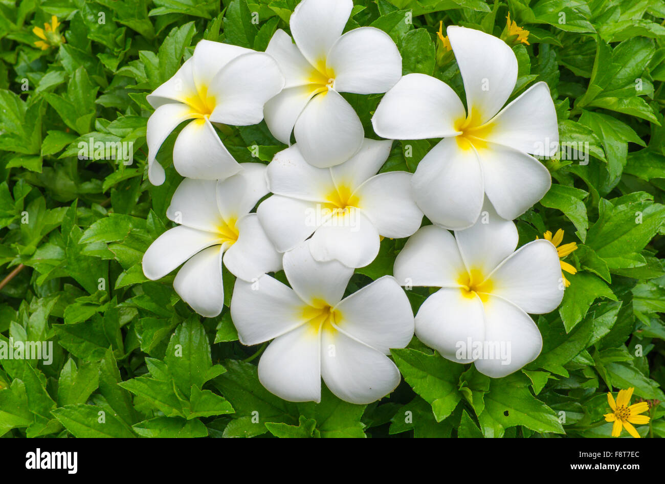 White yellow tropical flowers stock photos white yellow tropical white flowers of a pakhipodium with the yellow center against green leaves stock image mightylinksfo