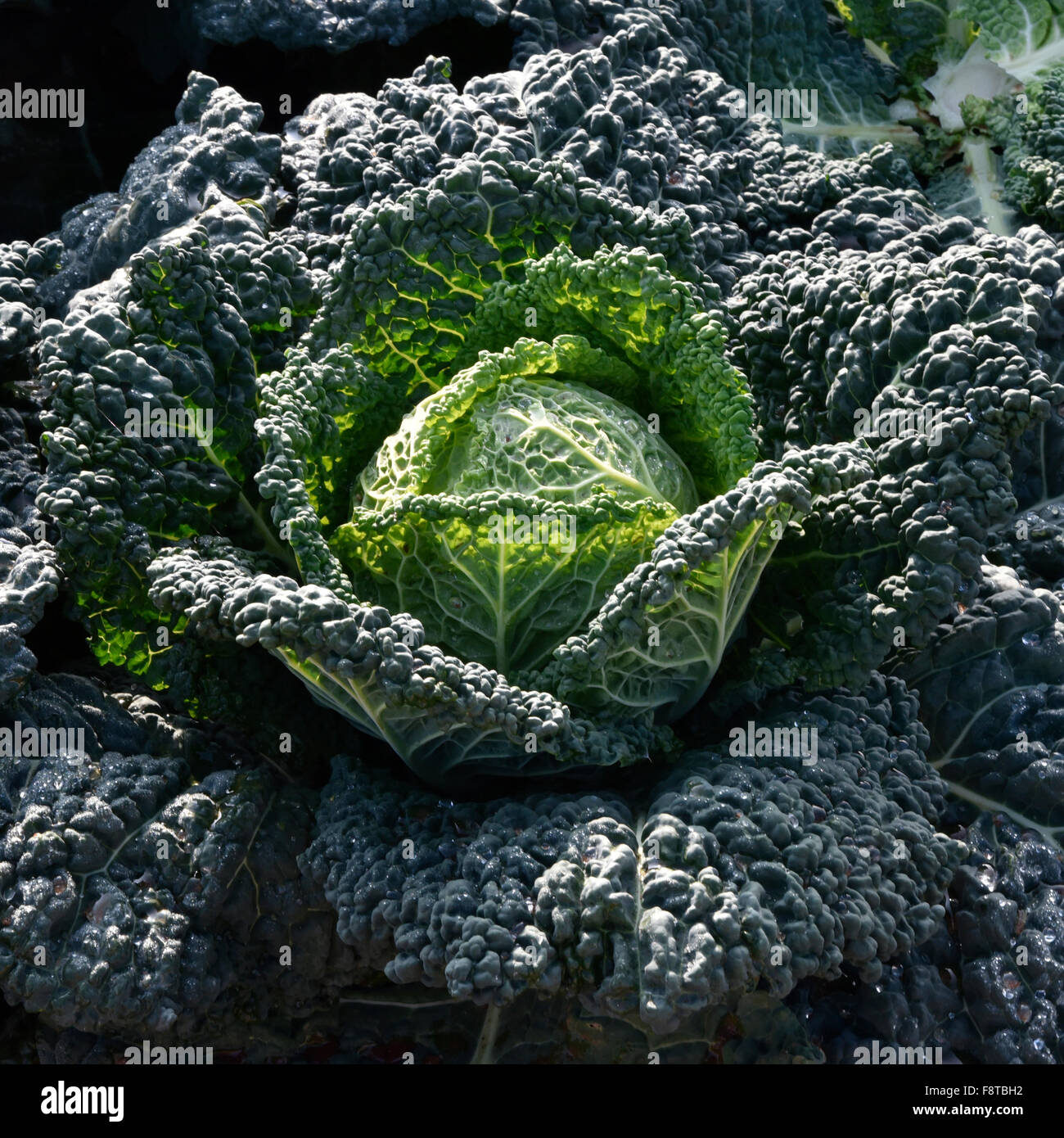 Cabbage cultivation on the coast of Puglia - Stock Image