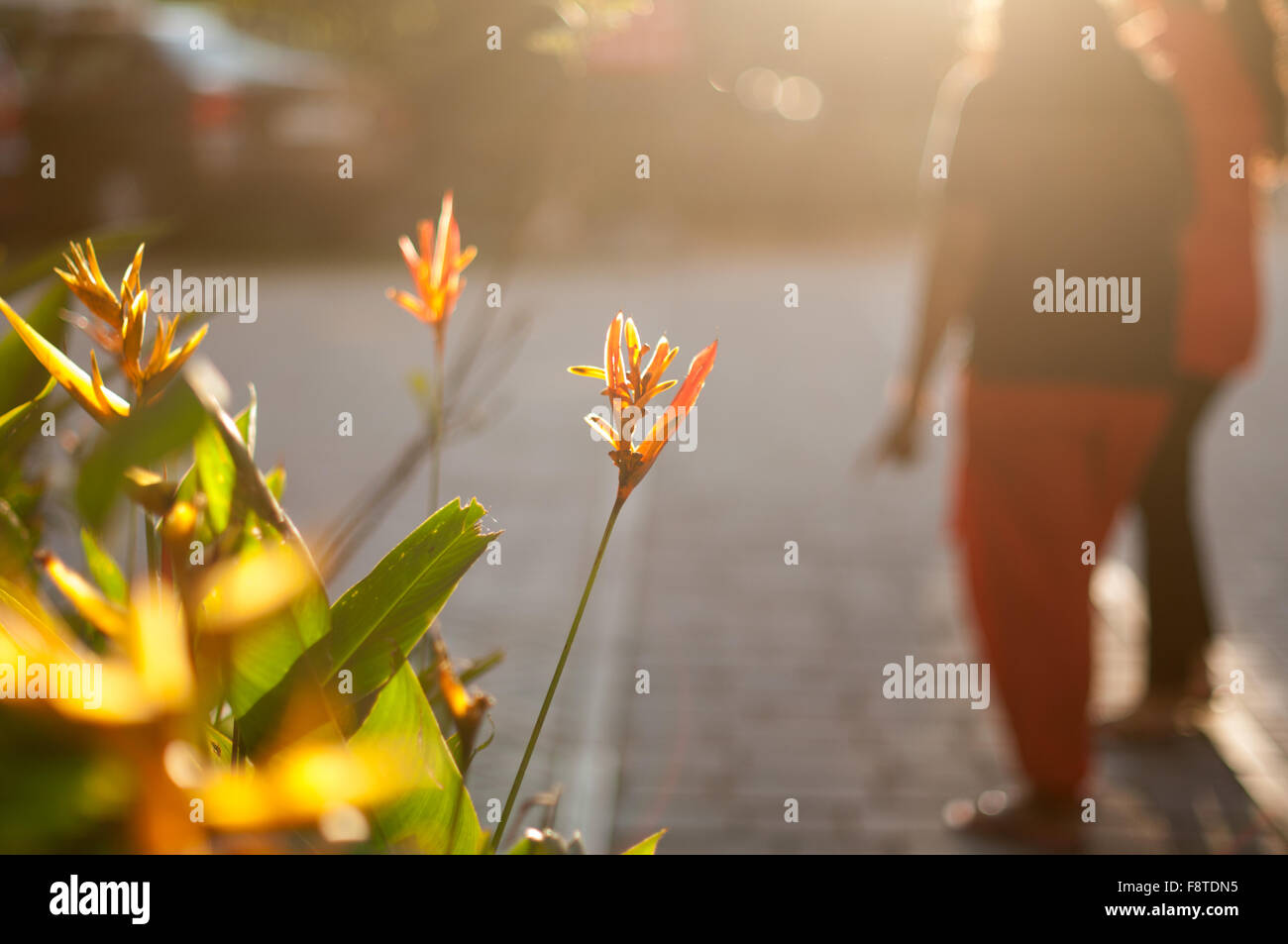 Heliconia flowers in a park with people blurred in background against setting sun - Stock Image