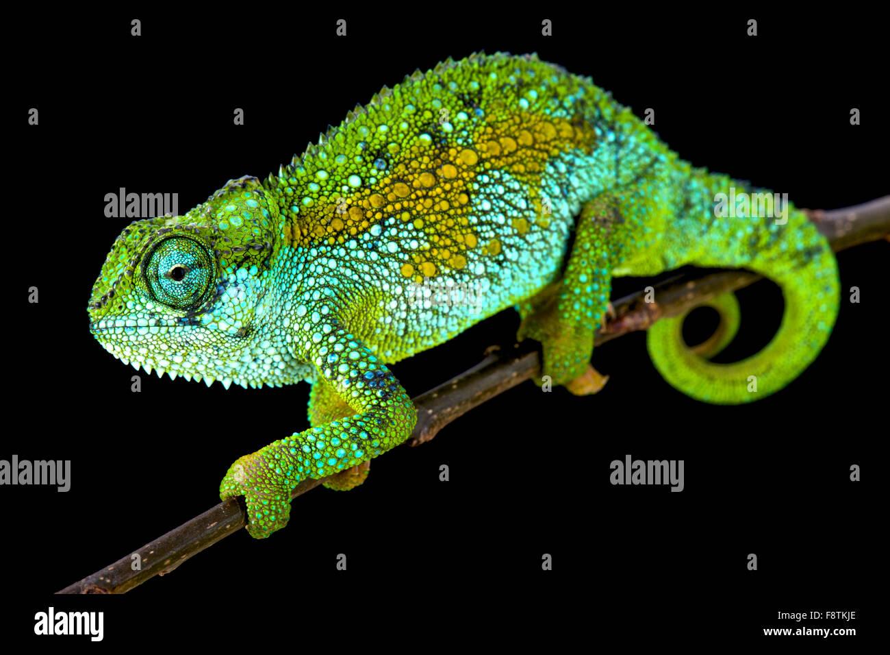 Tanzanian Montane Dwarf Chameleon (Trioceros sternfeldi) - Stock Image