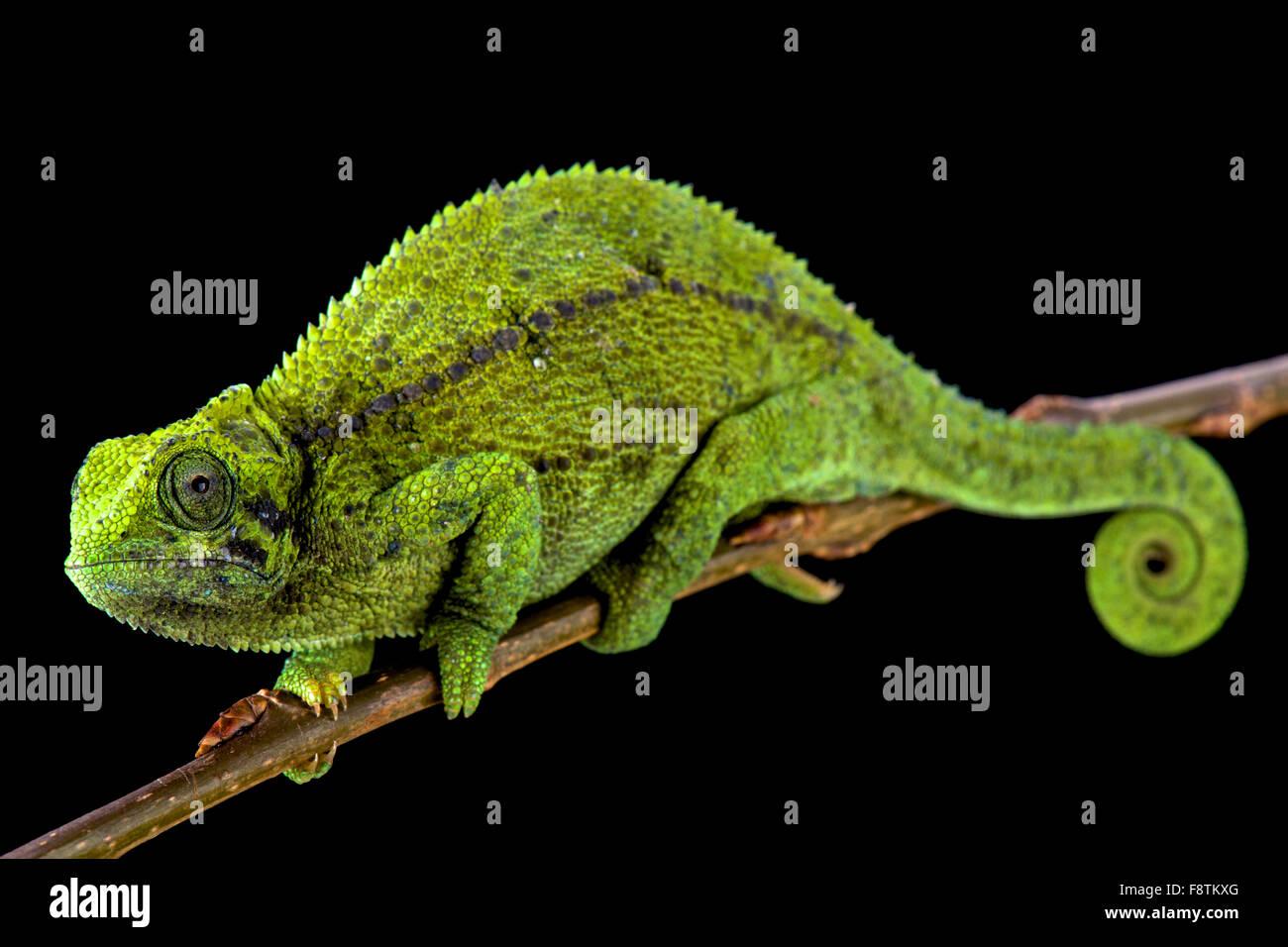 Tanzanian Montane Dwarf Chameleon (Trioceros sternfeldi) female - Stock Image