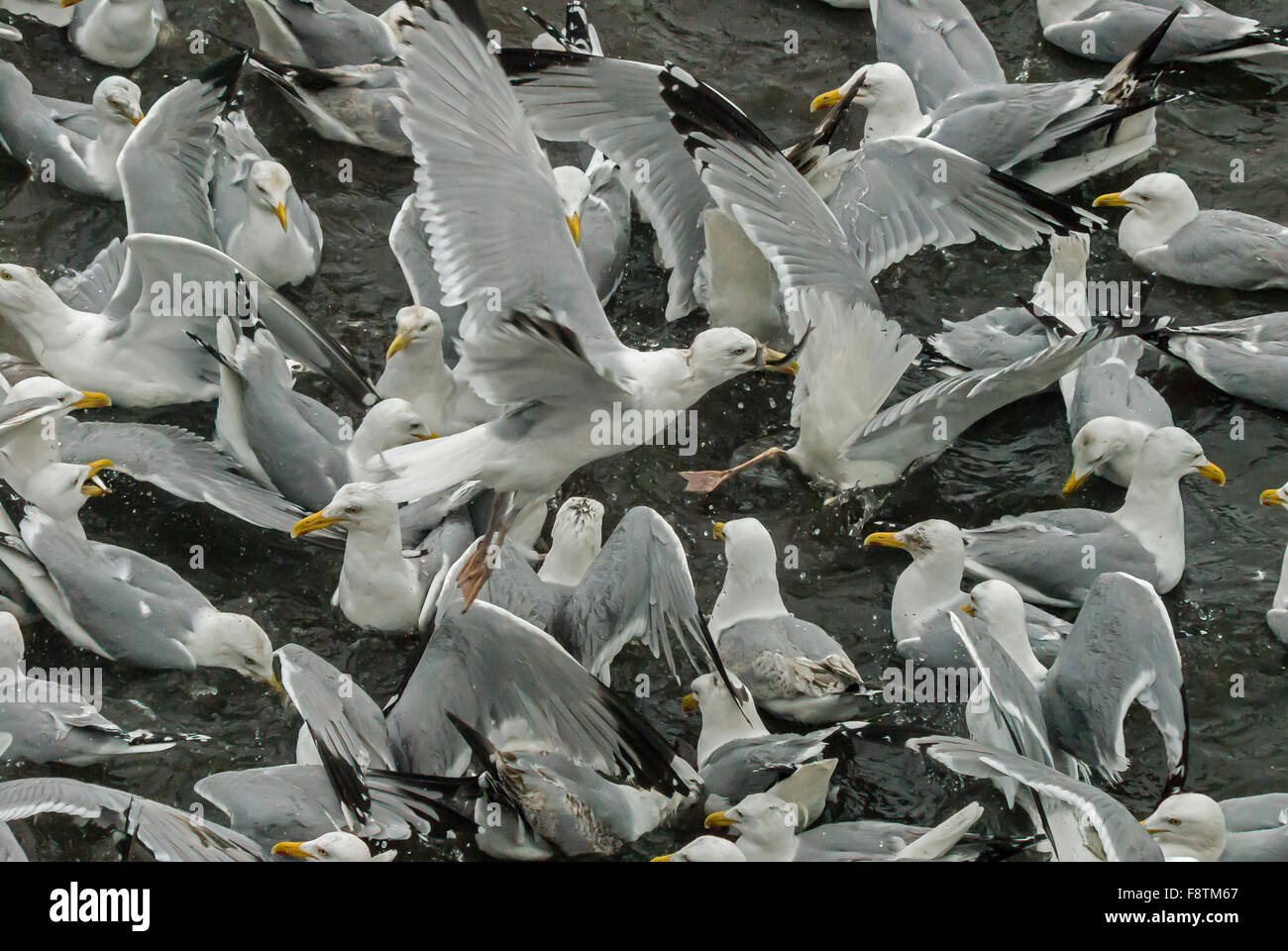 Herring gulls attacking sprats trapped in a pool on the Tweed - Stock Image