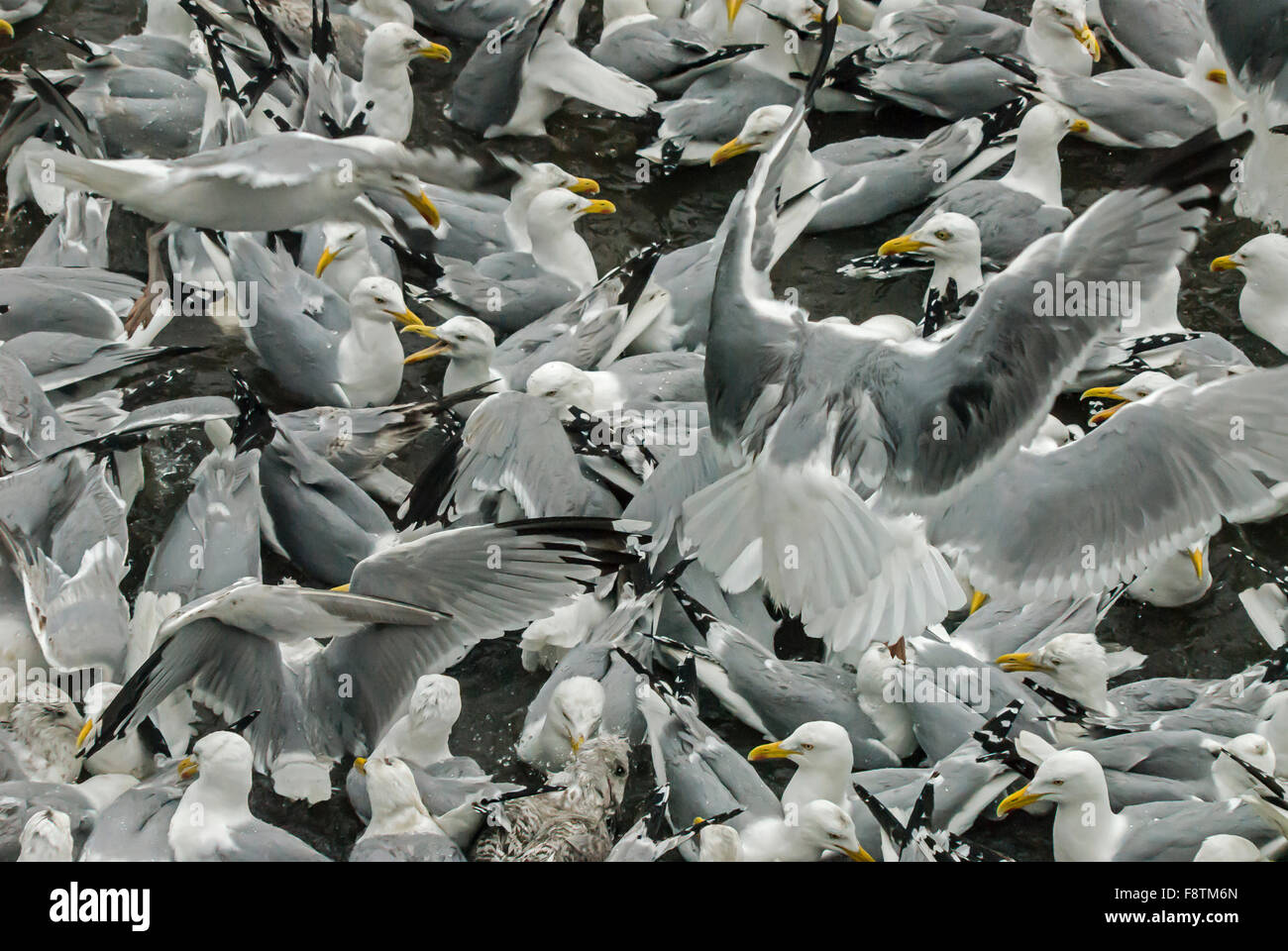 Herring gulls eating sprats trapped in a pool on the Tweed - Stock Image